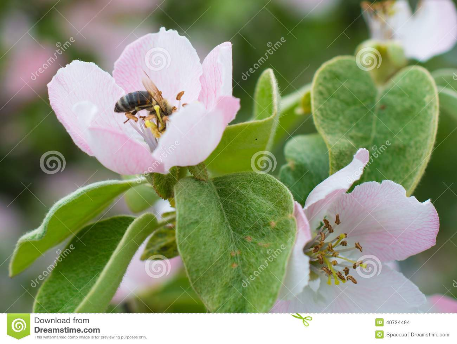 在苹果树花开花的蚊子蜂醋加什么能熏蜂蜜图片