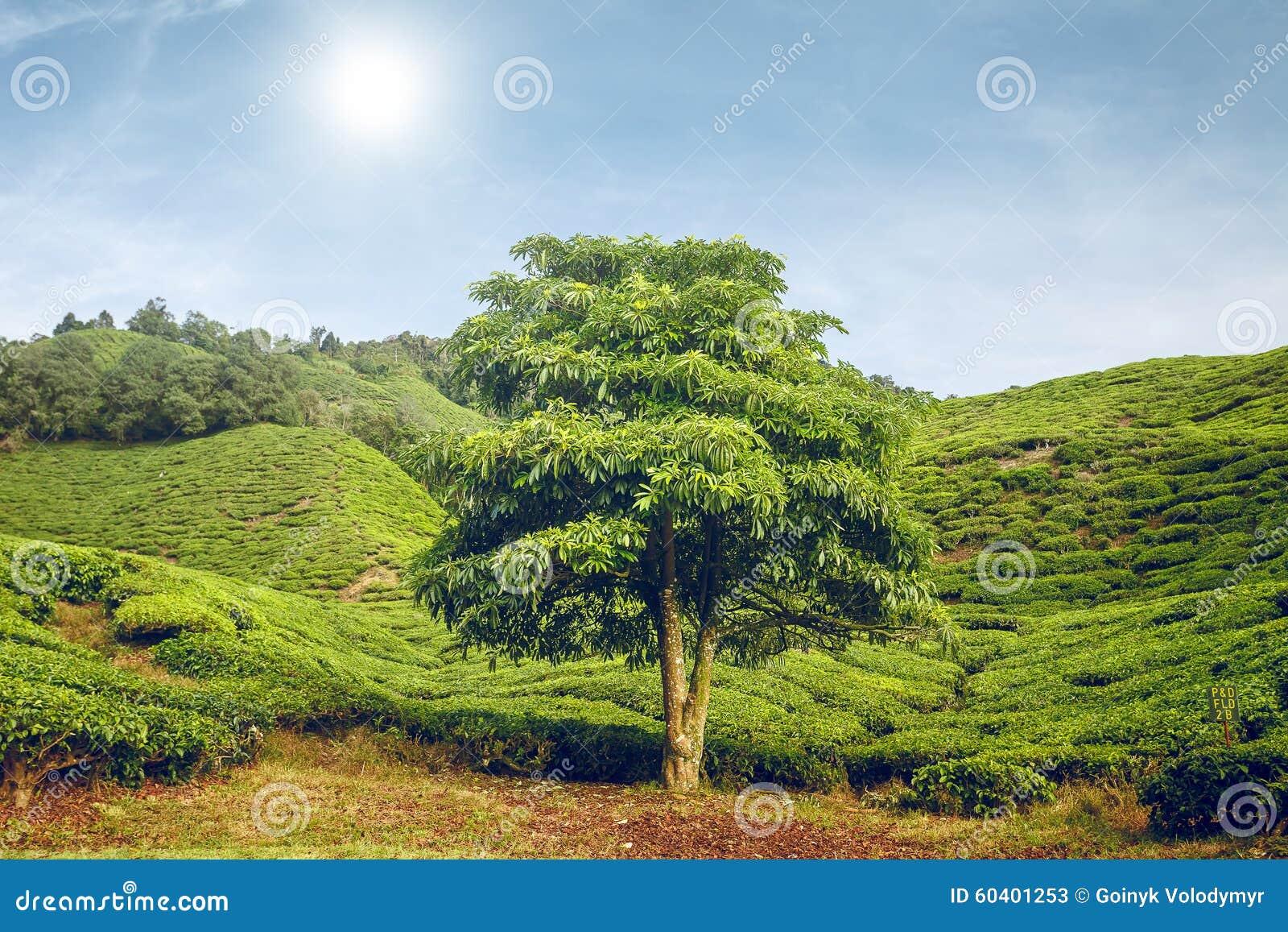 在茶园的大树