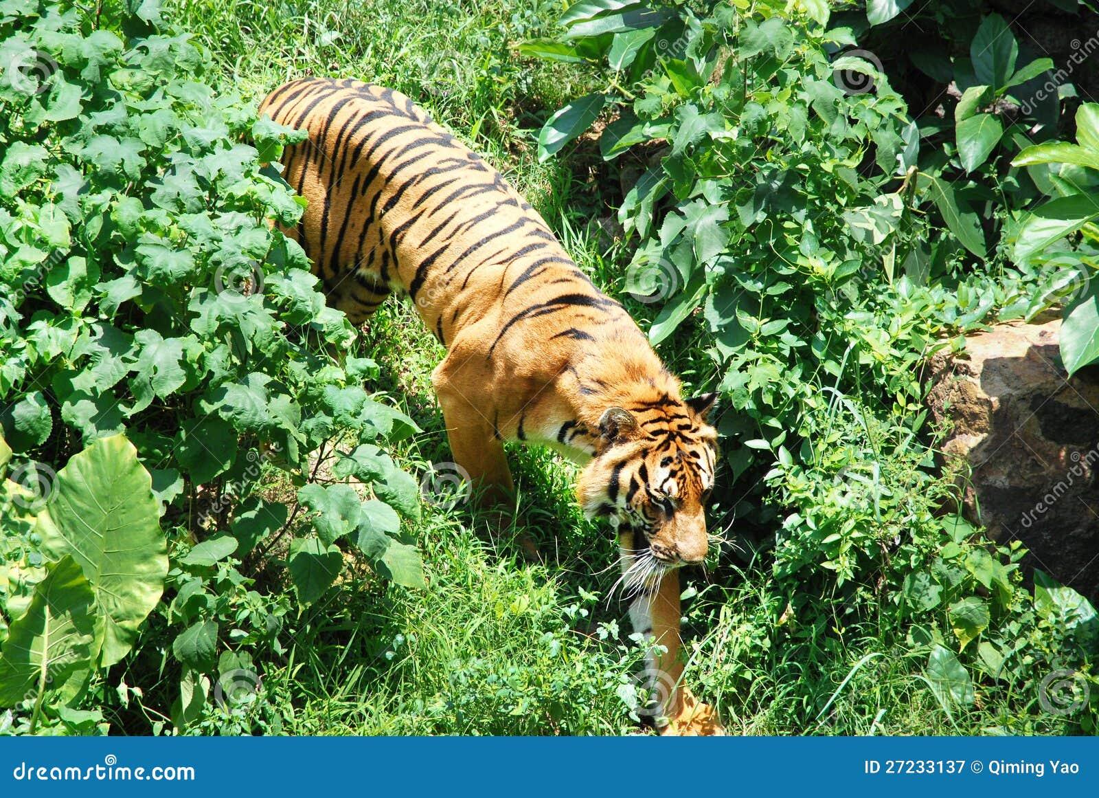 在草丛的老虎