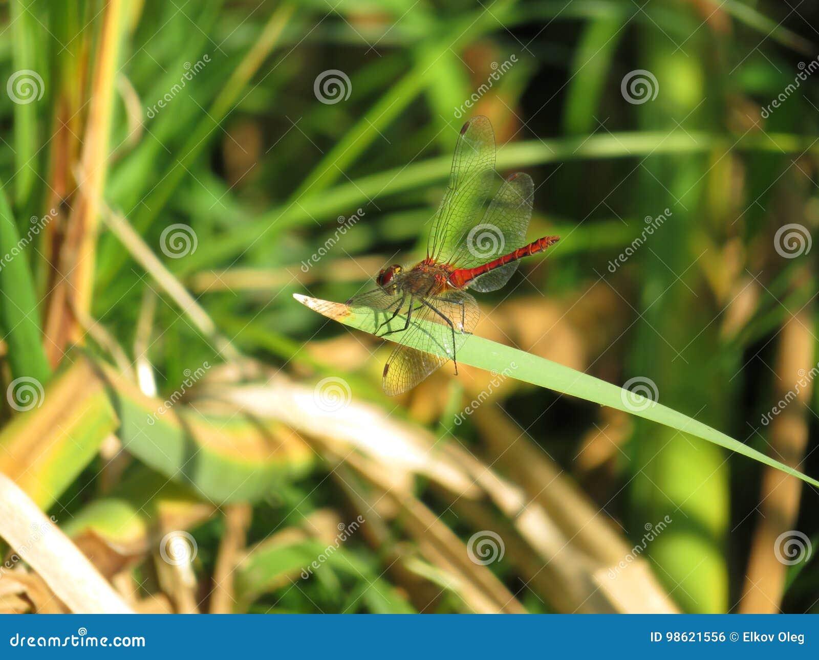 在草叶的红色蜻蜓