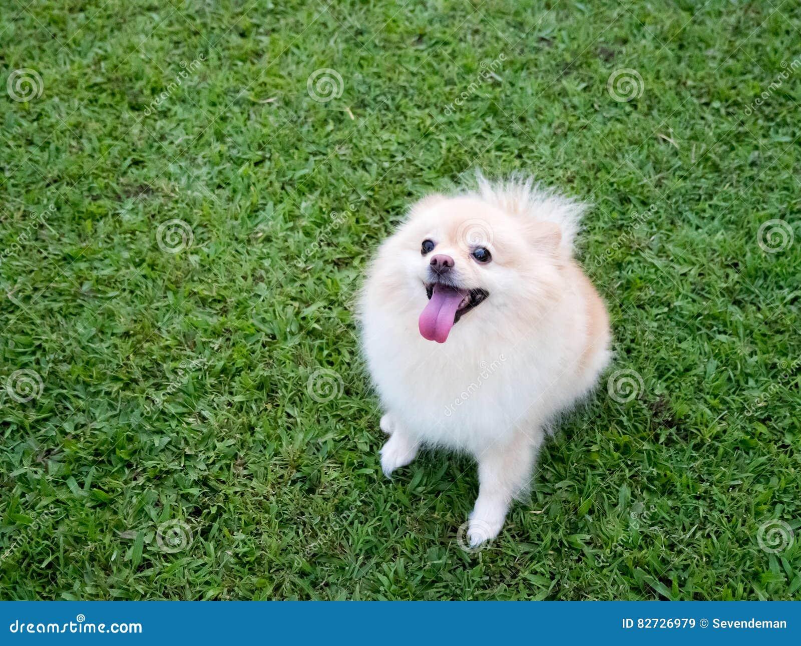 在草坪的Pomeranian