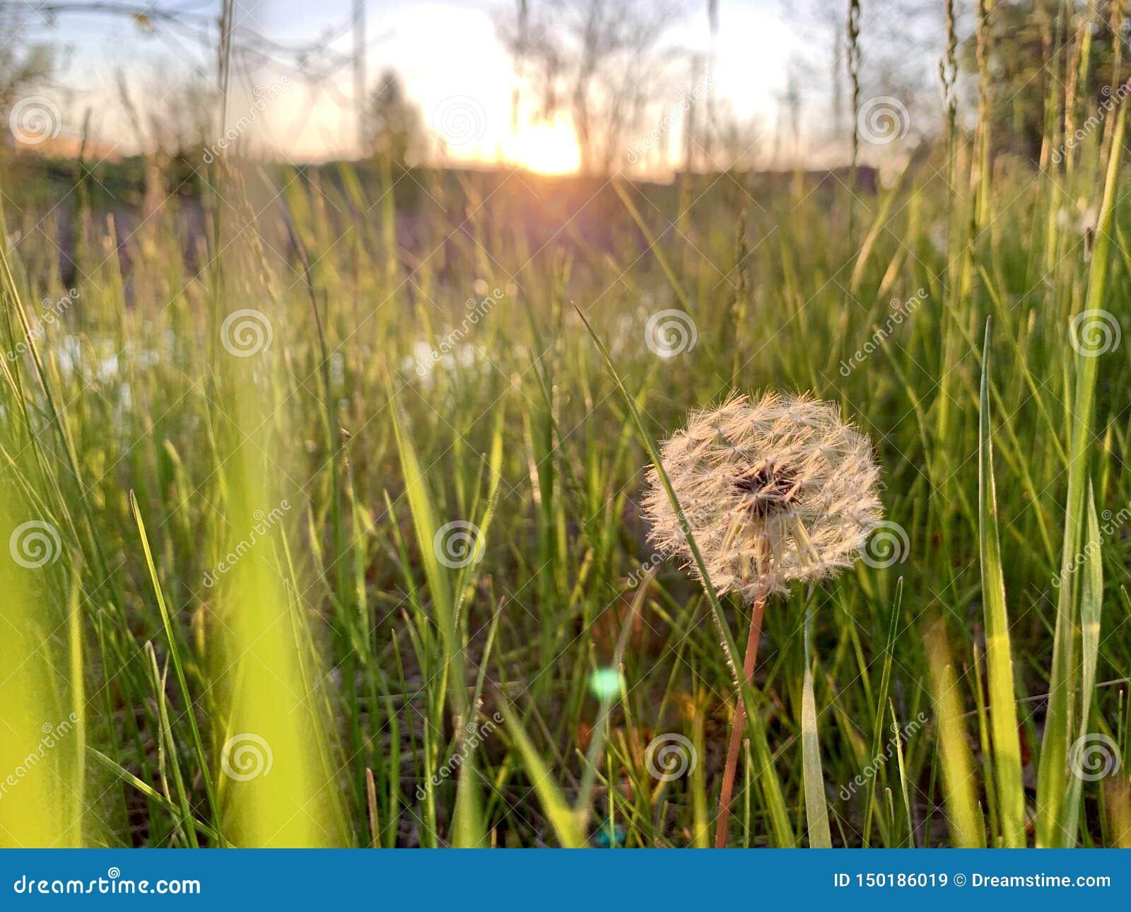 在草日落的蒲公英