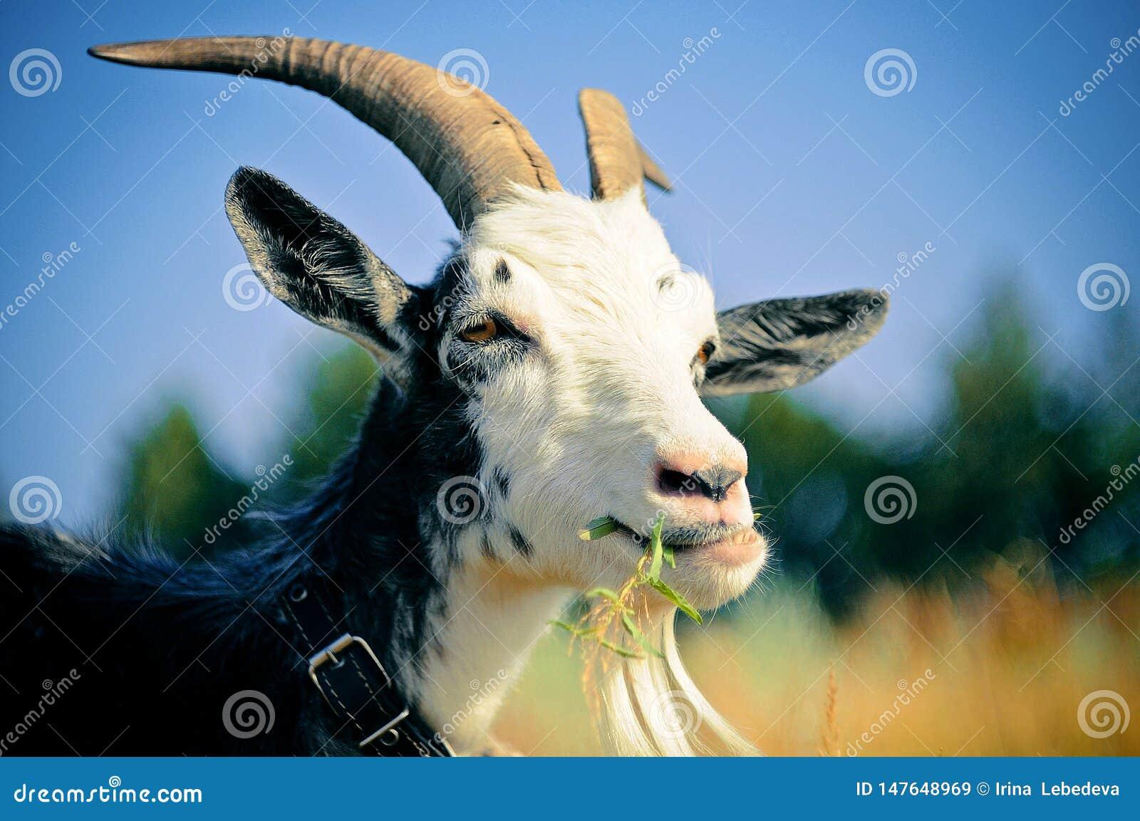在草甸吃草的山羊