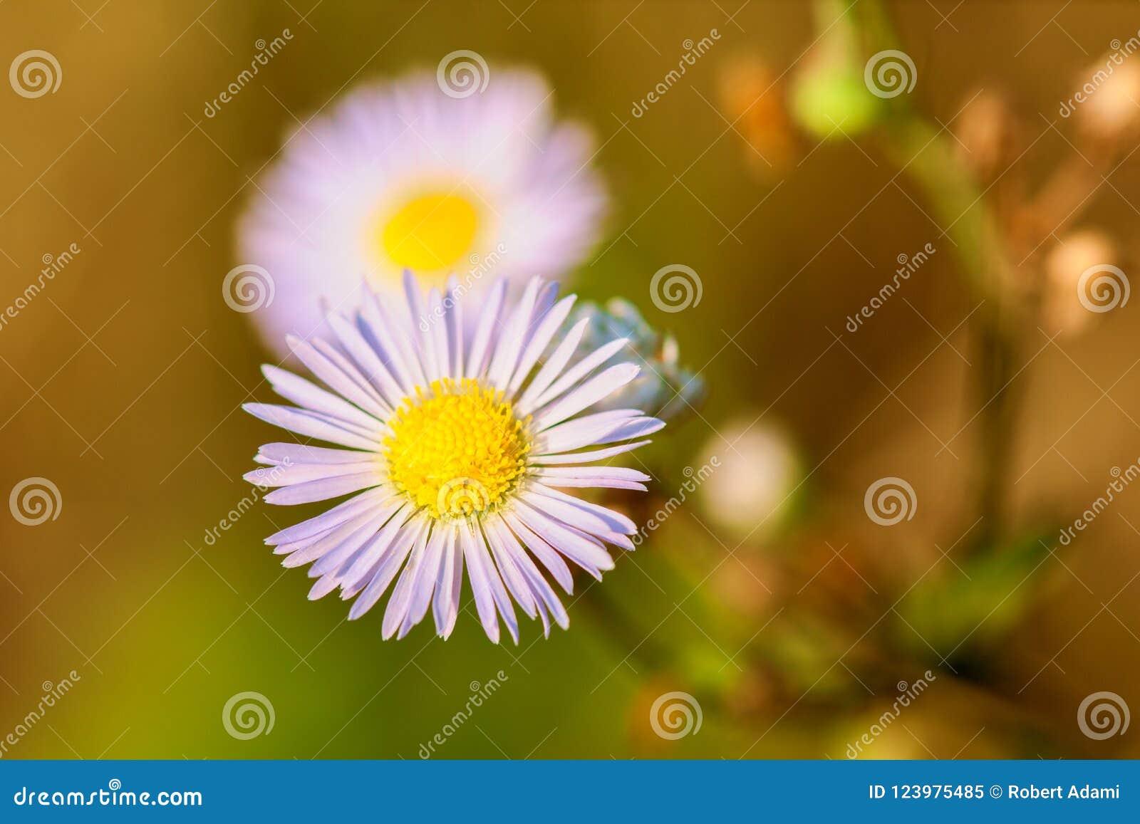在草甸特写镜头的白花春黄菊