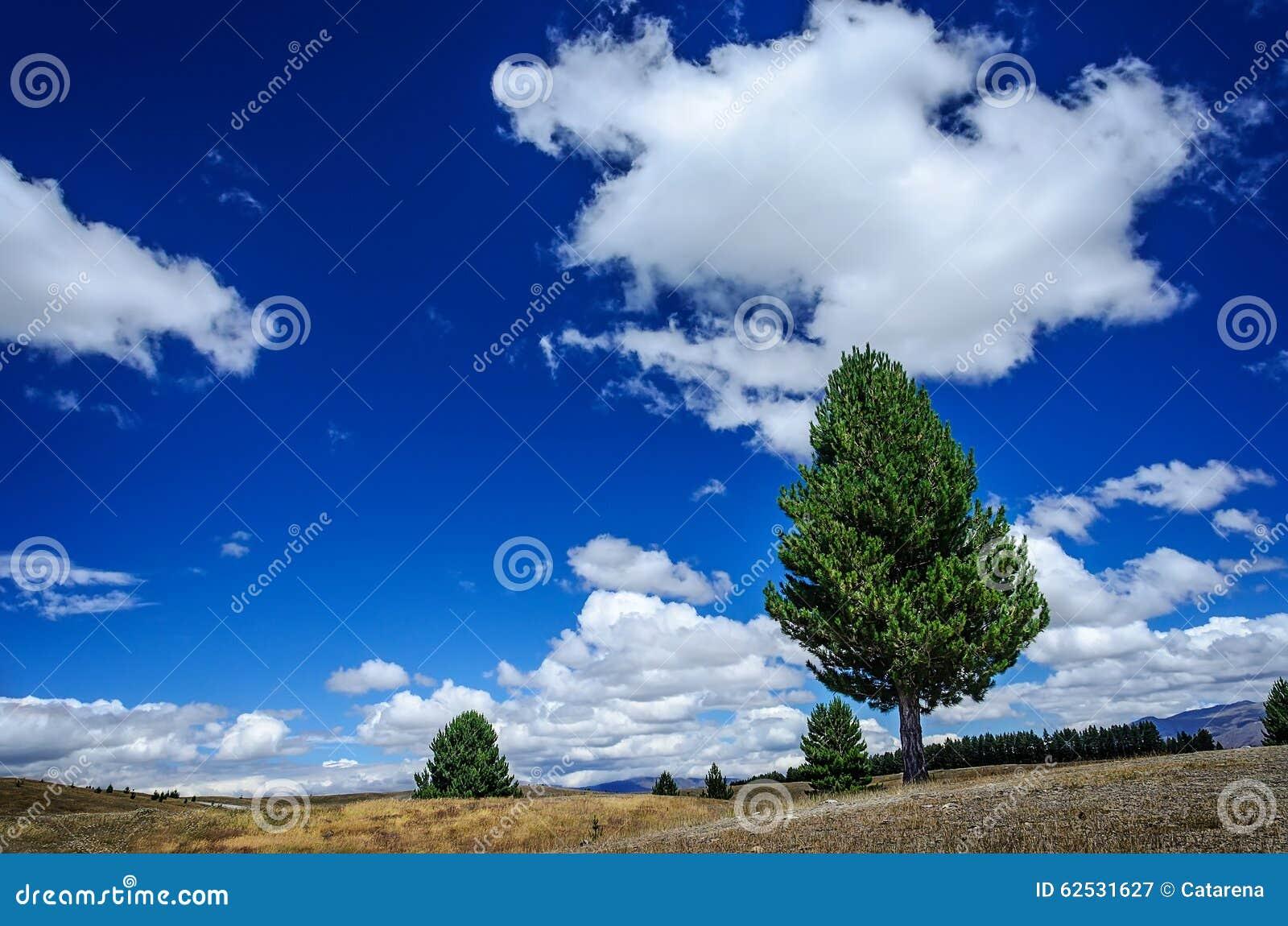 在草甸的偏僻的杉树
