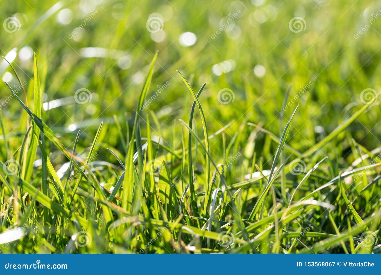 在草甸的水多的豪华的绿草有太阳聚焦的在好日子 自然夏天春天背景特写镜头,拷贝空间