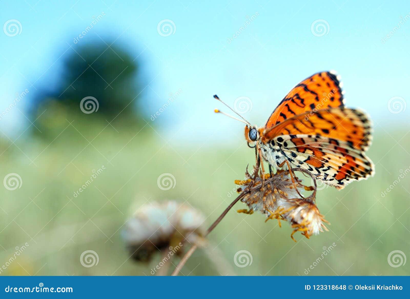 在草甸的美丽的蝴蝶 刷子有脚的蝴蝶 复制空间图片