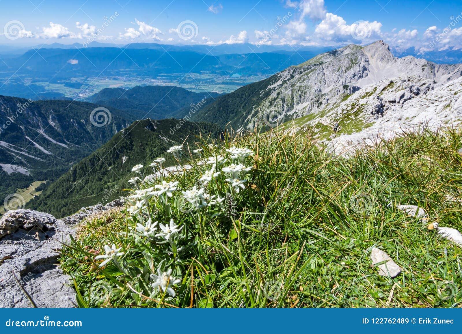 在草甸的Edelweiss在山顶部