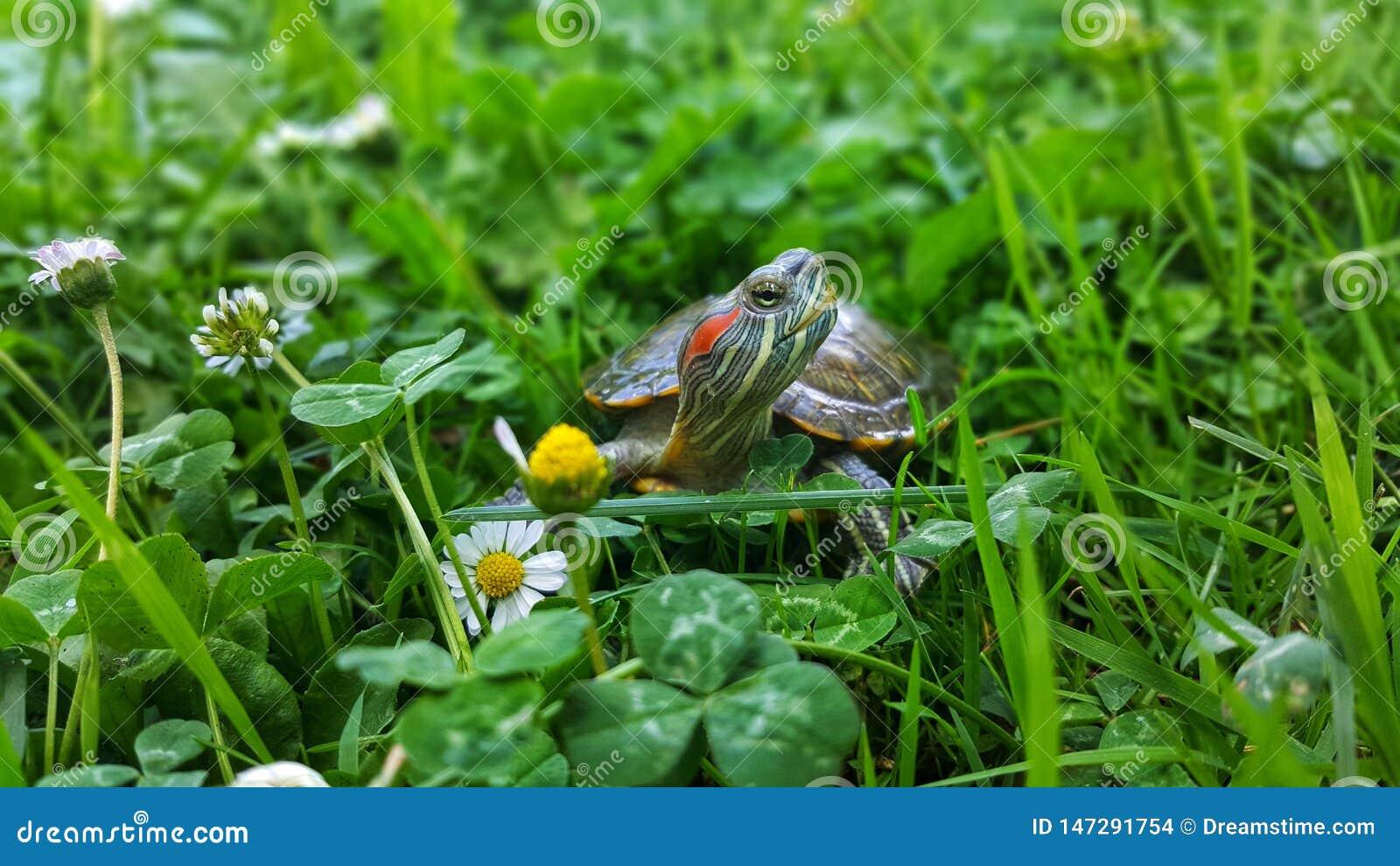 在草的乌龟
