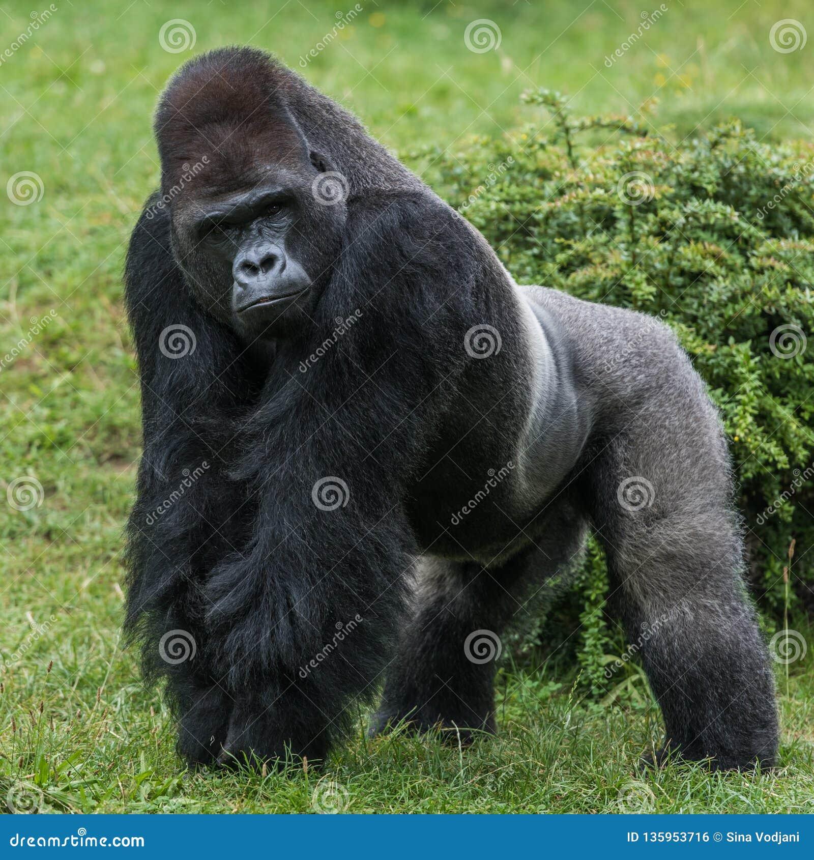 在草的大猩猩