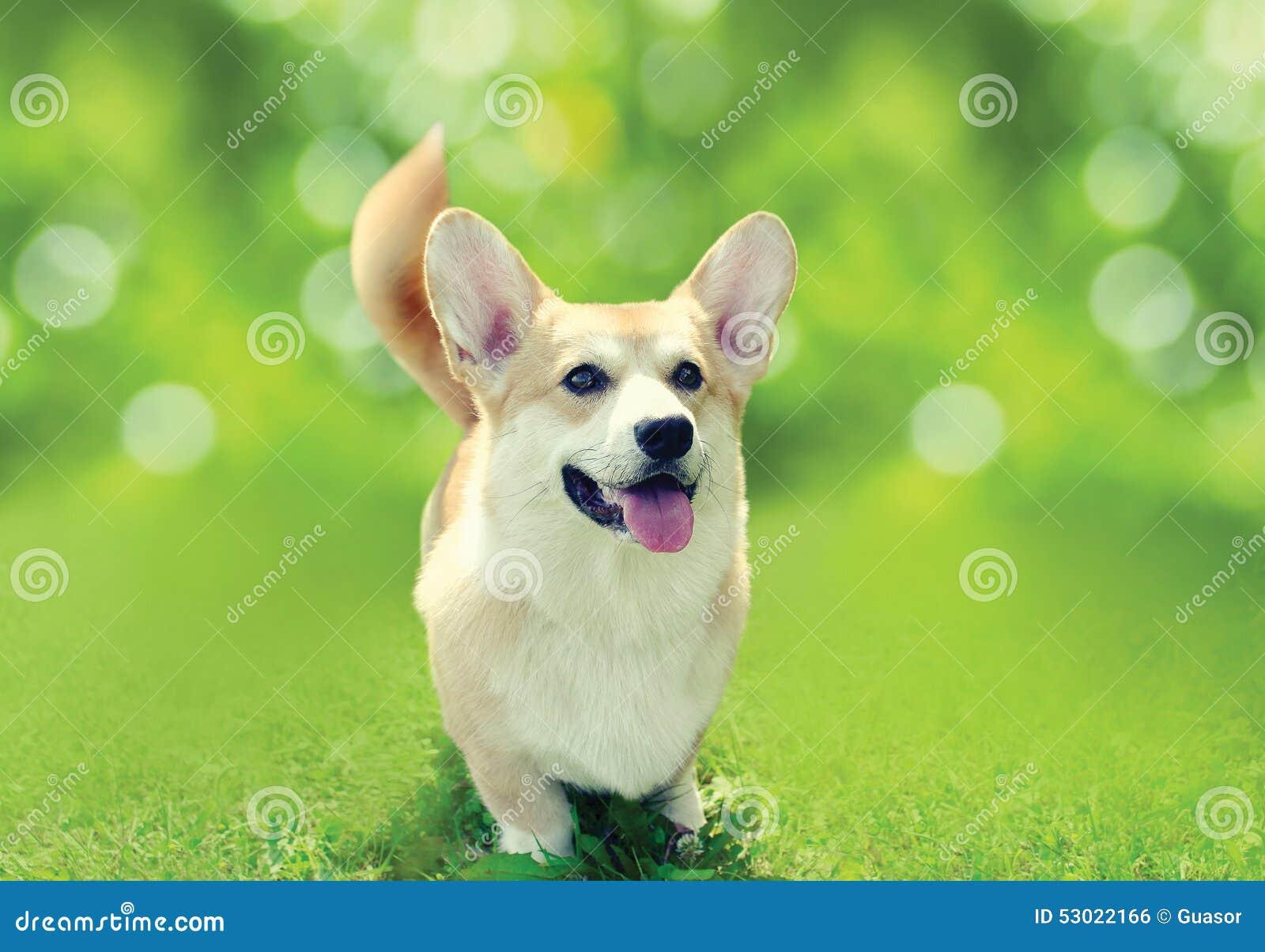 在草的愉快的狗威尔士小狗彭布罗克角在晴朗的夏日