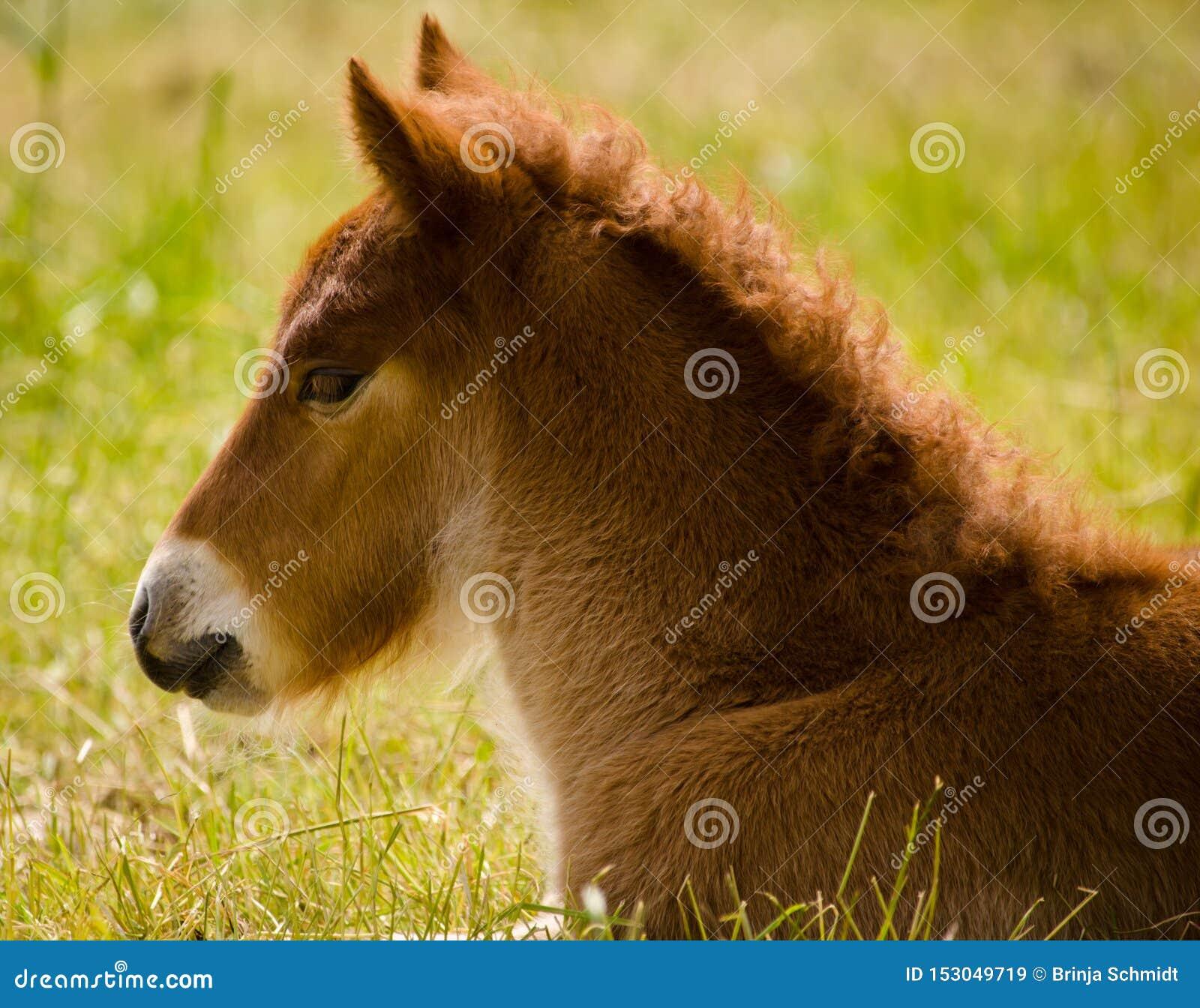 在草的逗人喜爱的矮小的棕色驹