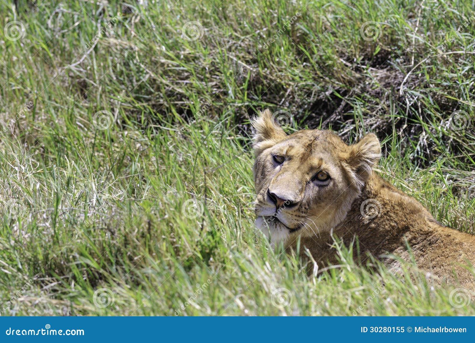 在草的雌狮