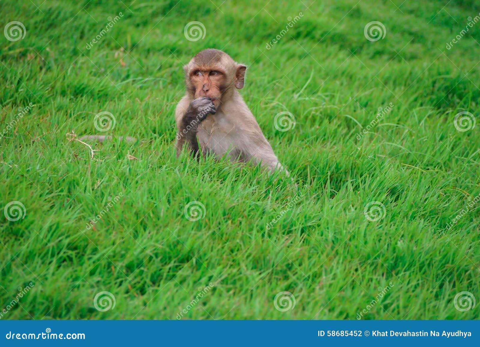 在草的猴子