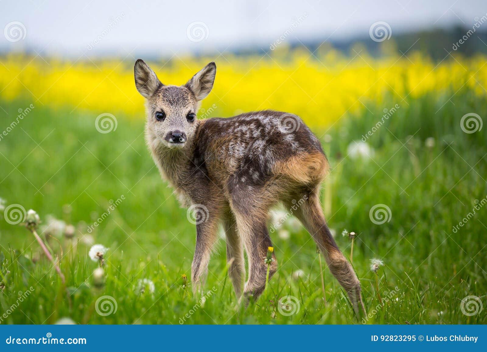 在草,狍属狍属的幼小野生狍