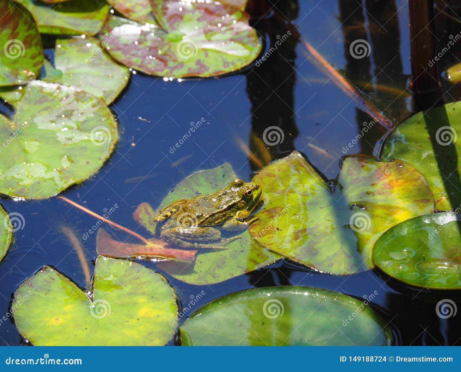 在莲花叶子的青蛙