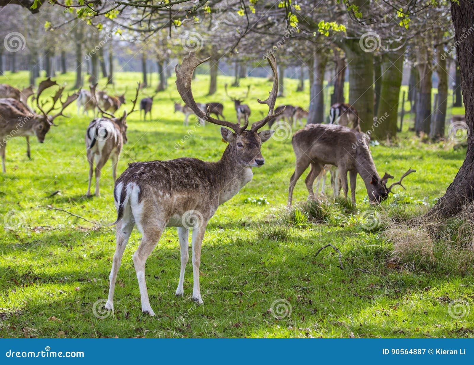 在菲尼斯公园察觉的鹿,都伯林