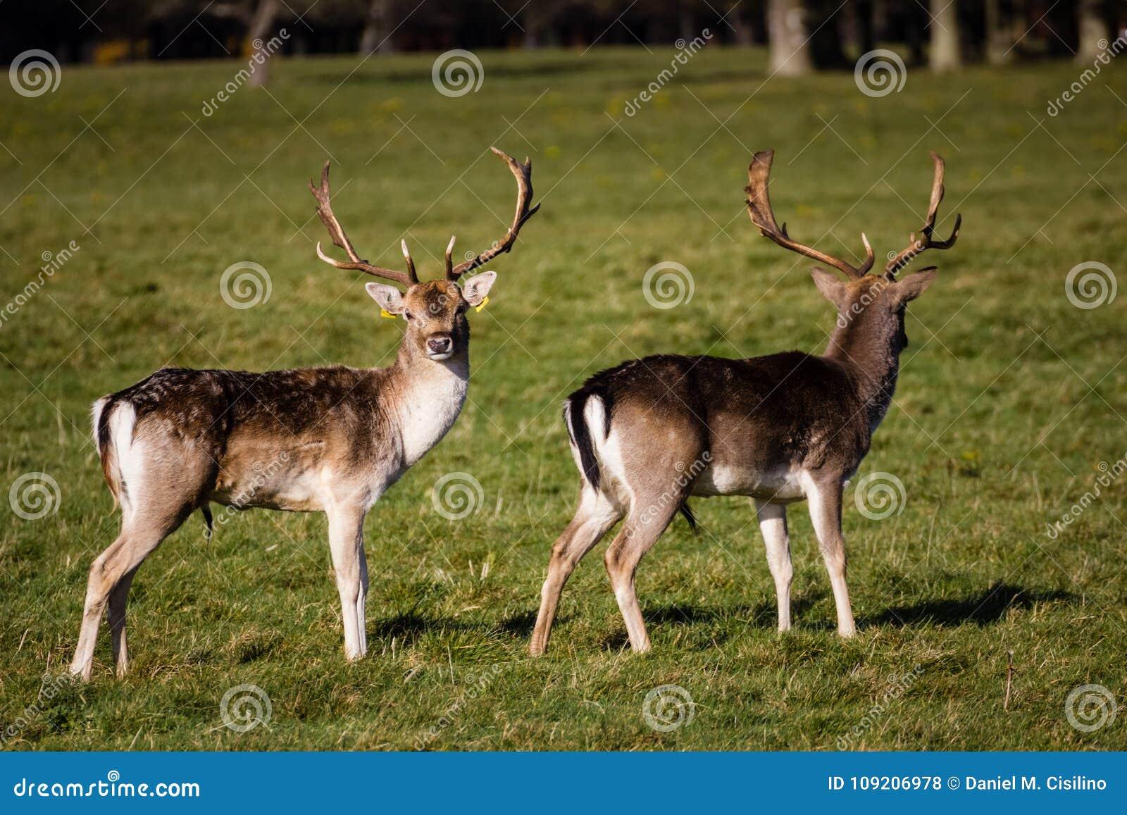 在菲尼斯公园的鹿 都伯林 爱尔兰
