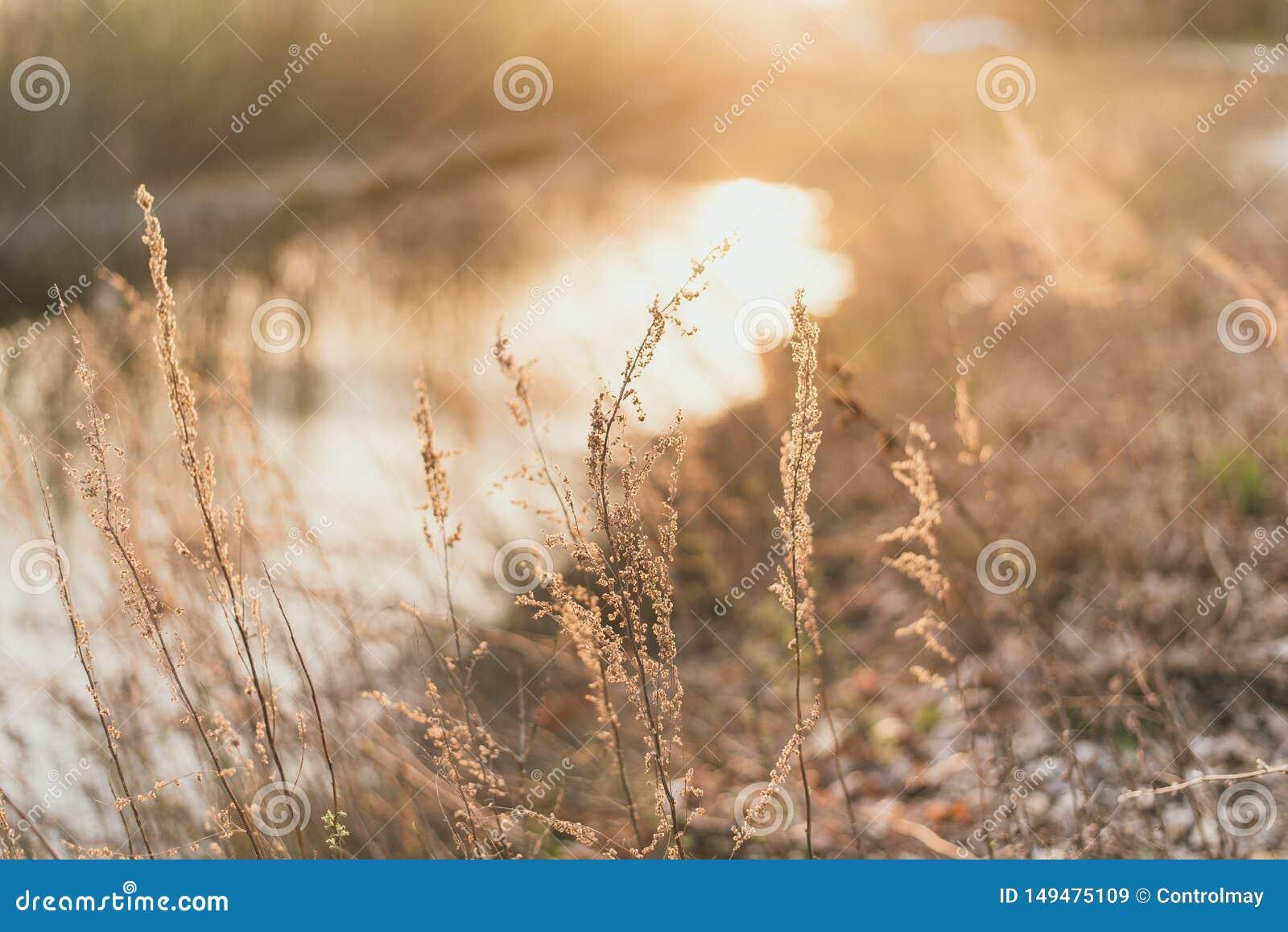 在落日的光芒的领域草 i 在河附近的金黄黑麦领域