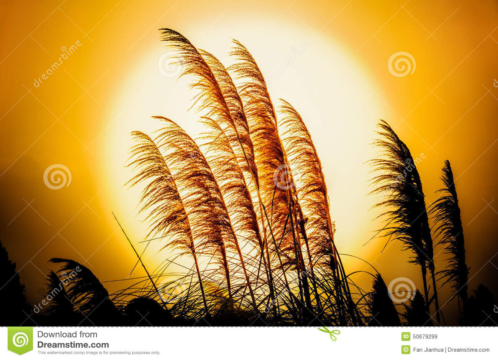 Download 在落日的里德花 库存图片. 图片 包括有 风景, 地产, 食物, 一口, 背包, 成熟, 室外, 日落, 农田 - 50679299