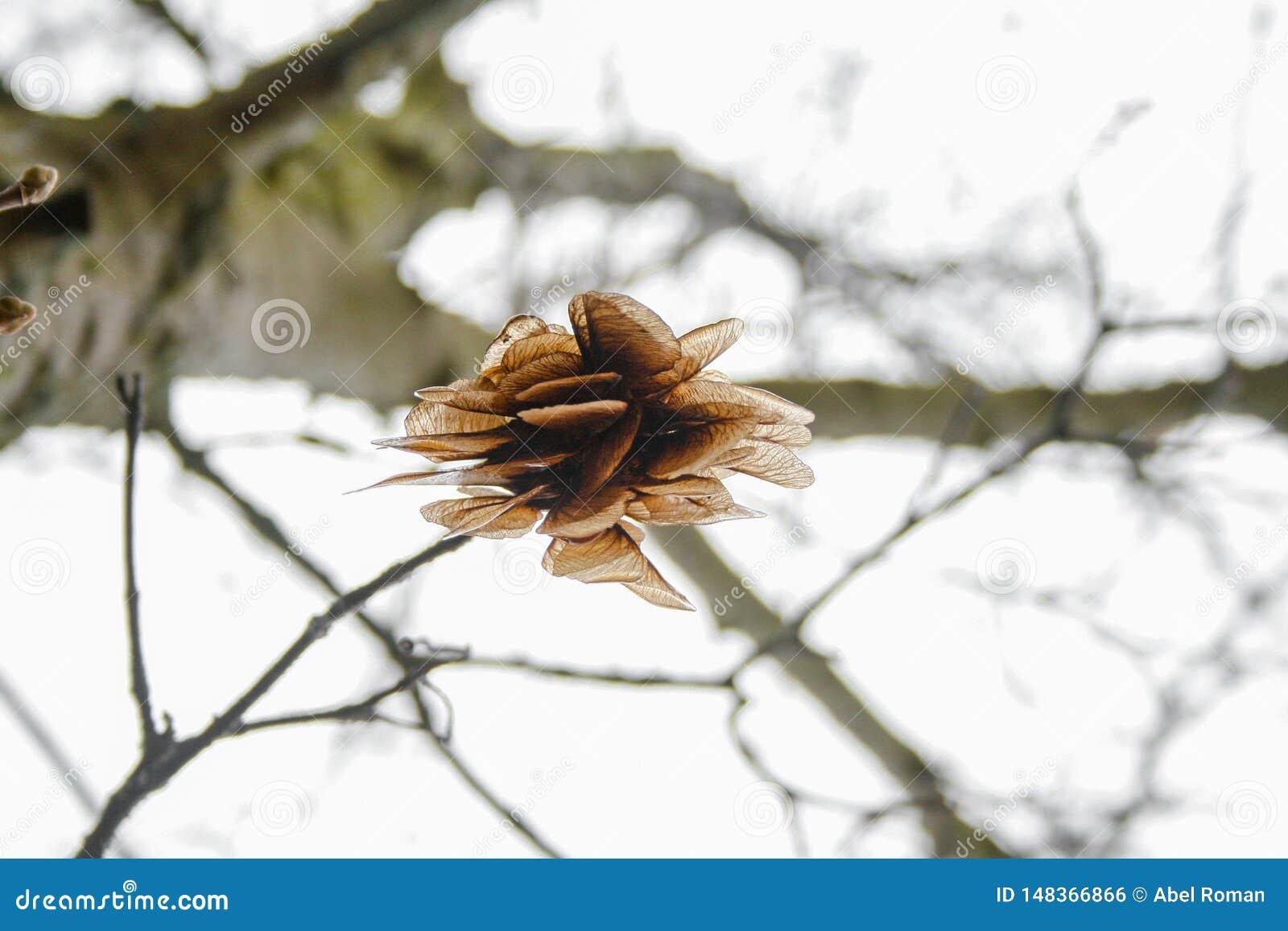 在落的树的槭树种子,以直升机的形式