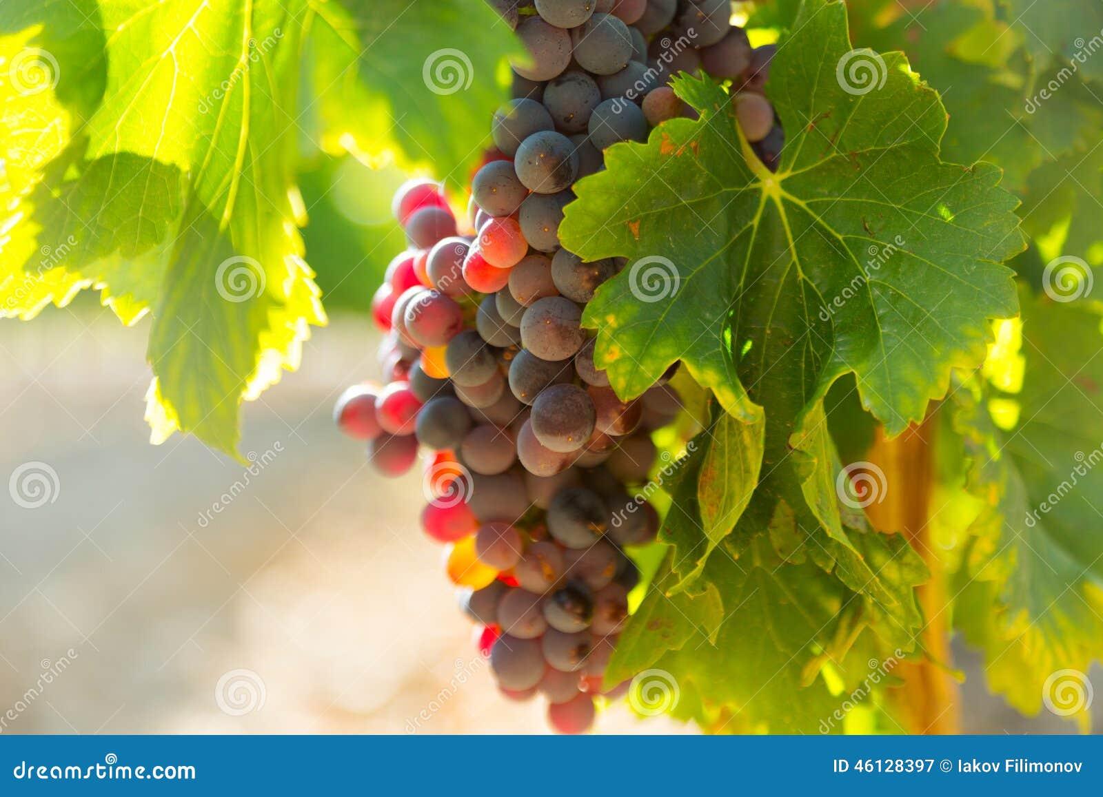 在葡萄园植物的葡萄在晴朗的威严的天