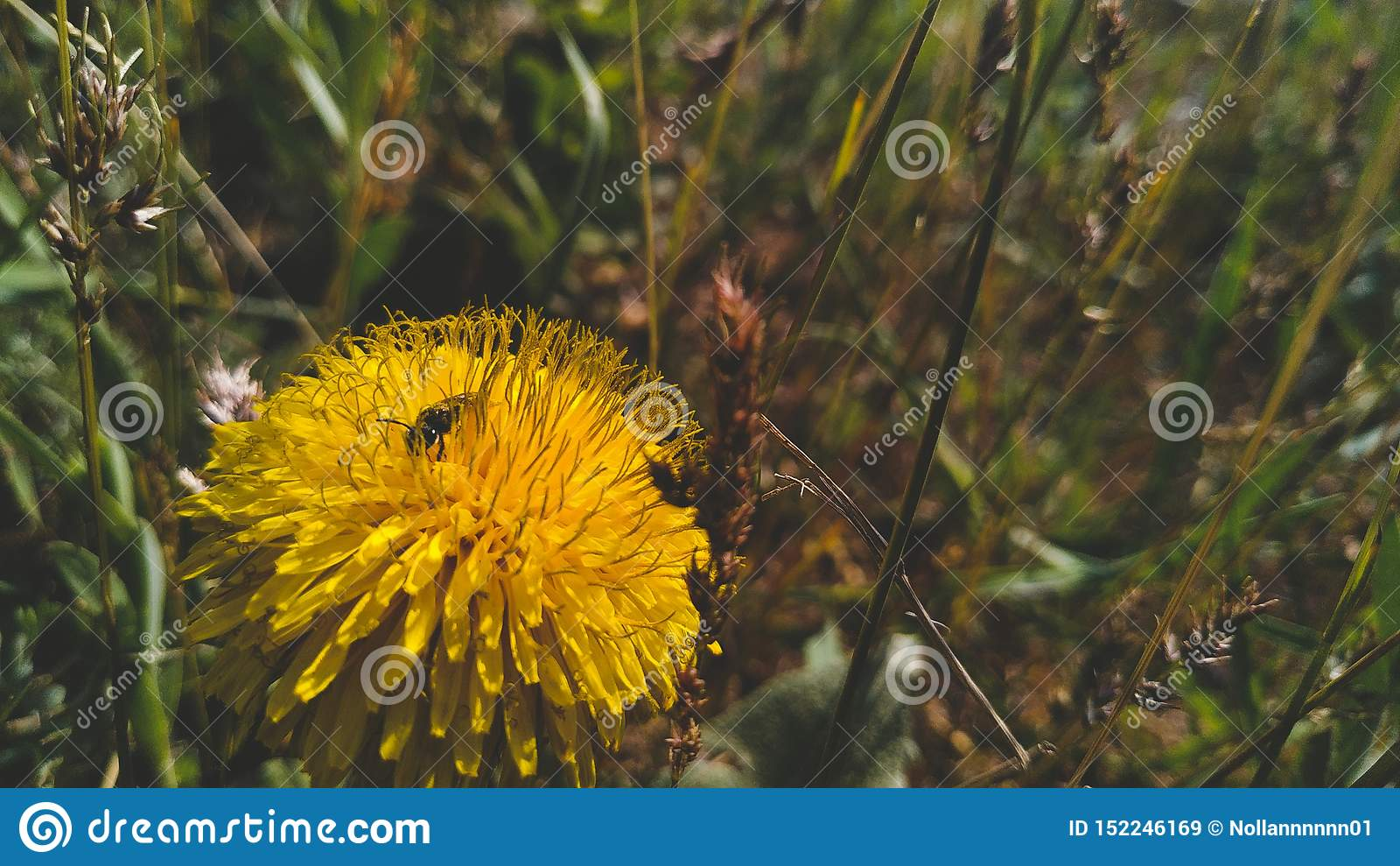 在蒲公英的蜂