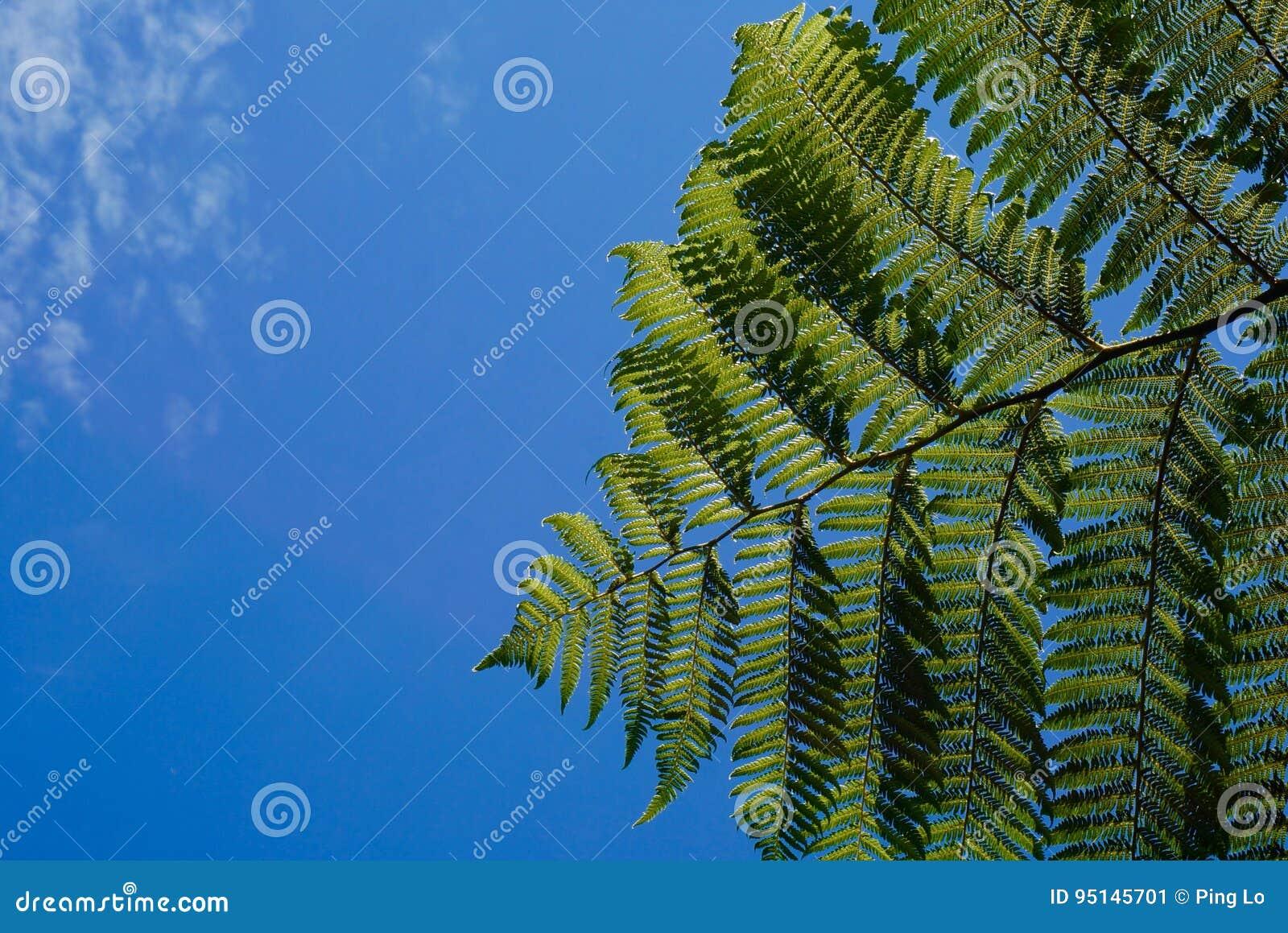 在蓝天的绿色蕨在新西兰