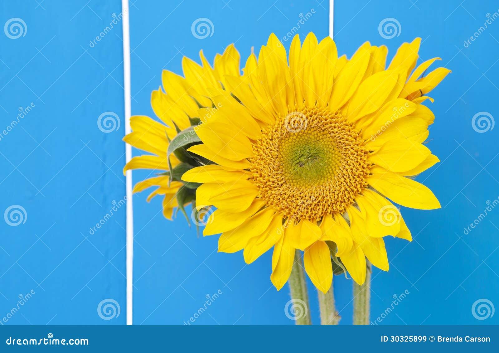 在蓝色的向日葵