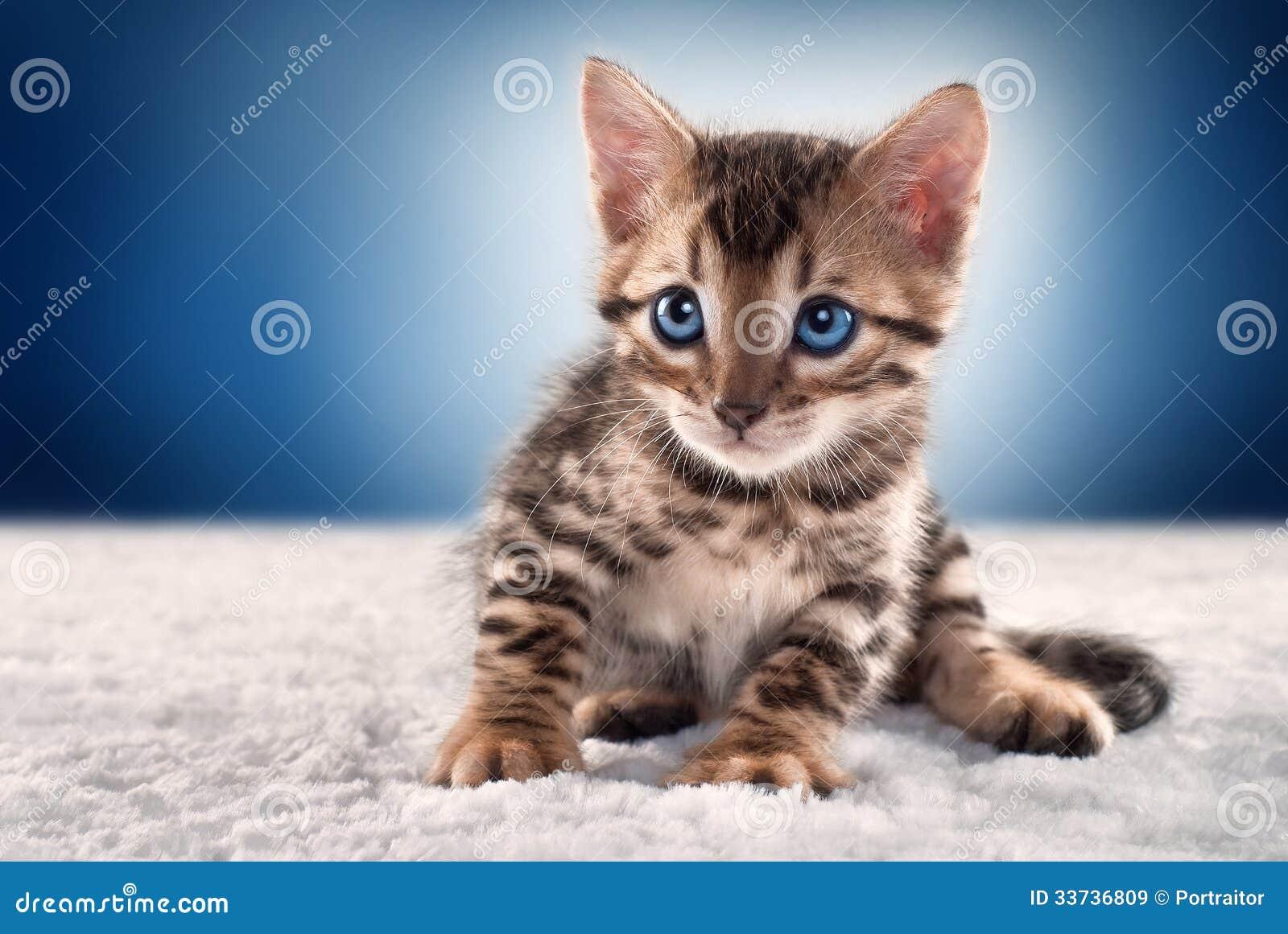 在蓝色背景的孟加拉小猫