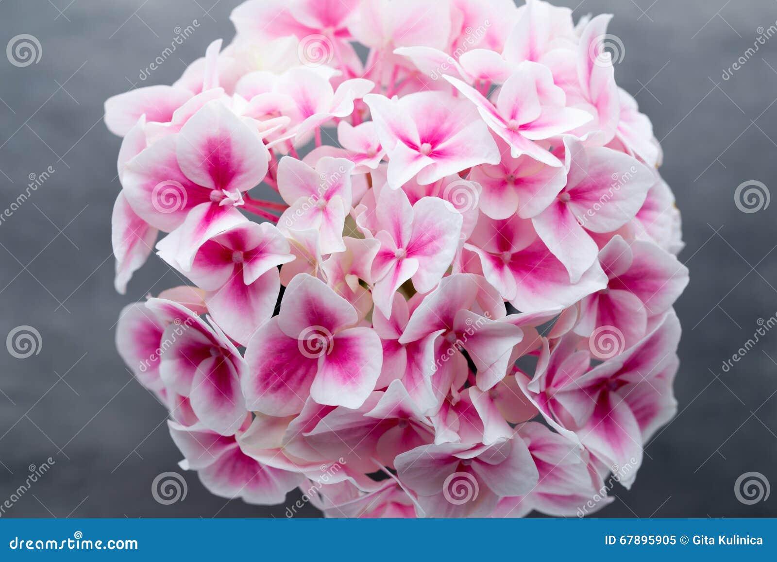 在蓝色背景的桃红色花八仙花属