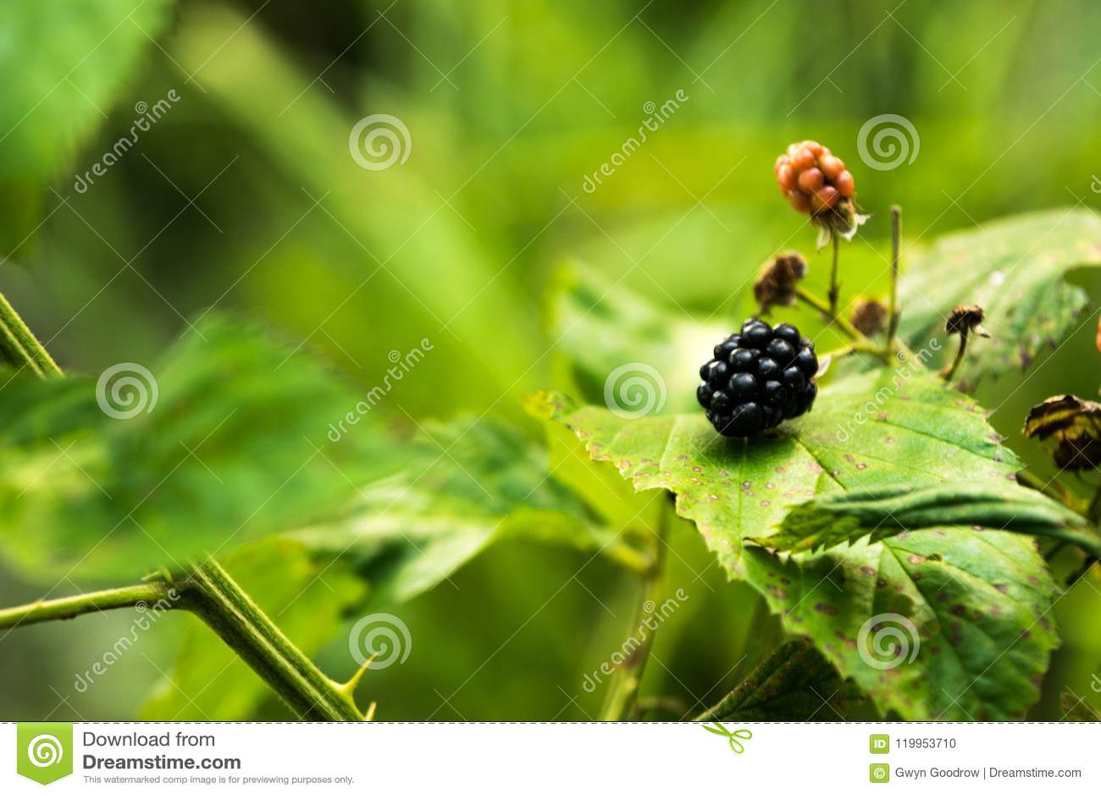 在藤的Blacberries与自然叶子