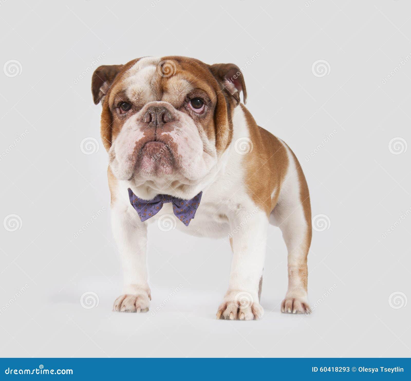 在蝶形领结的英国牛头犬
