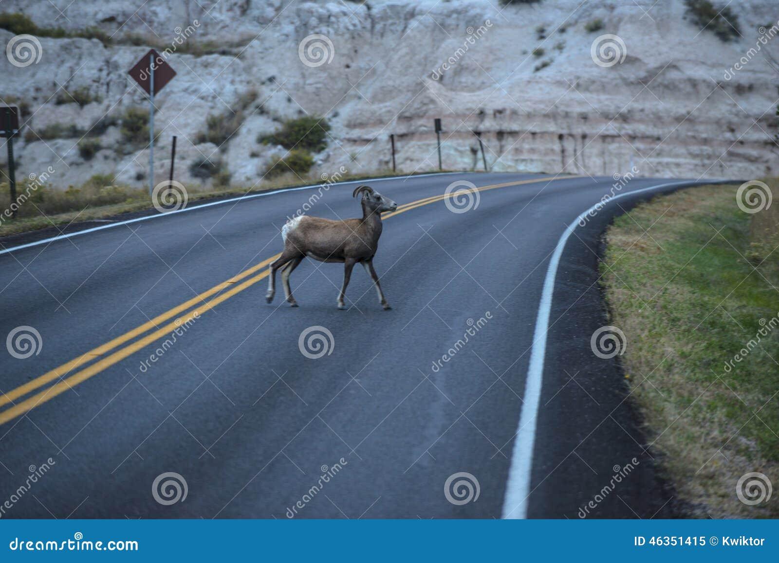 在街道上的绵羊