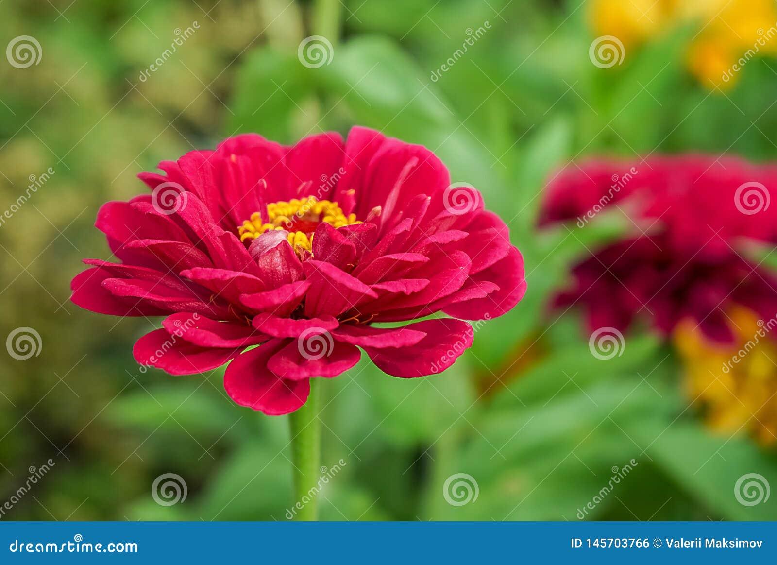 在被弄脏的绿色背景的红色百日菊属花