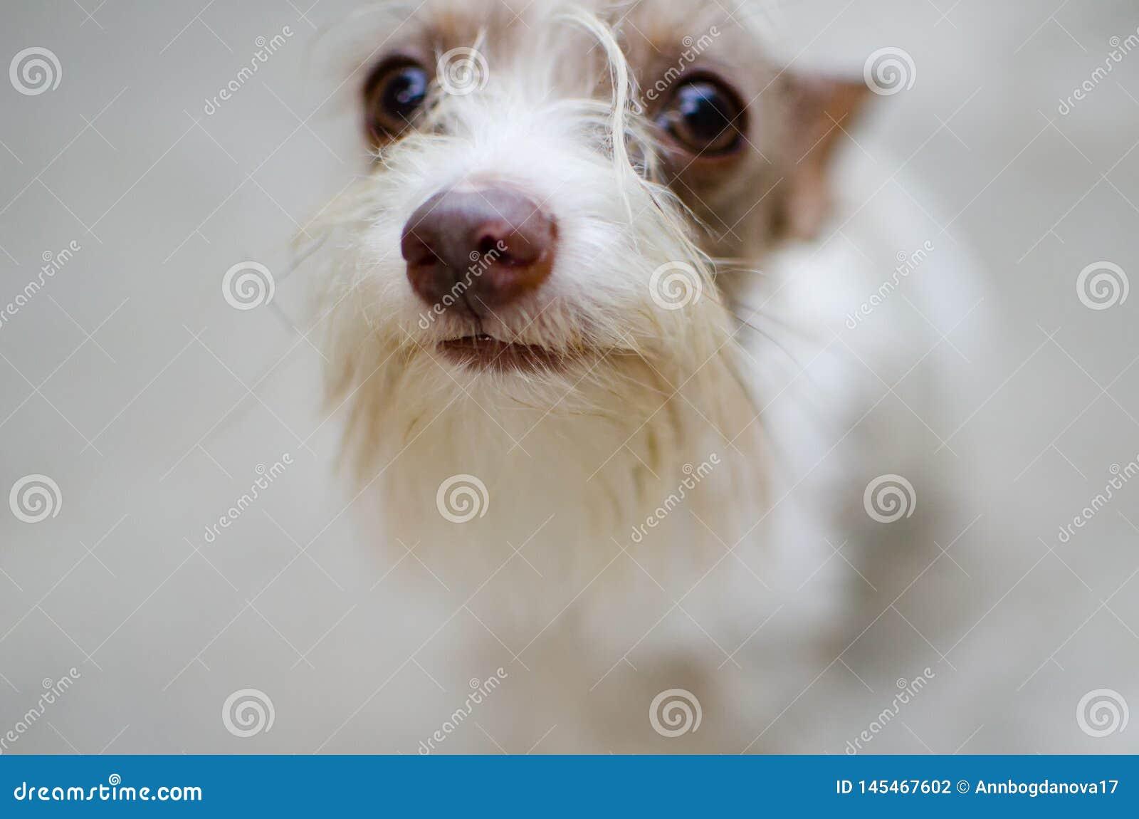 在被弄脏的背景的白色约克夏狗