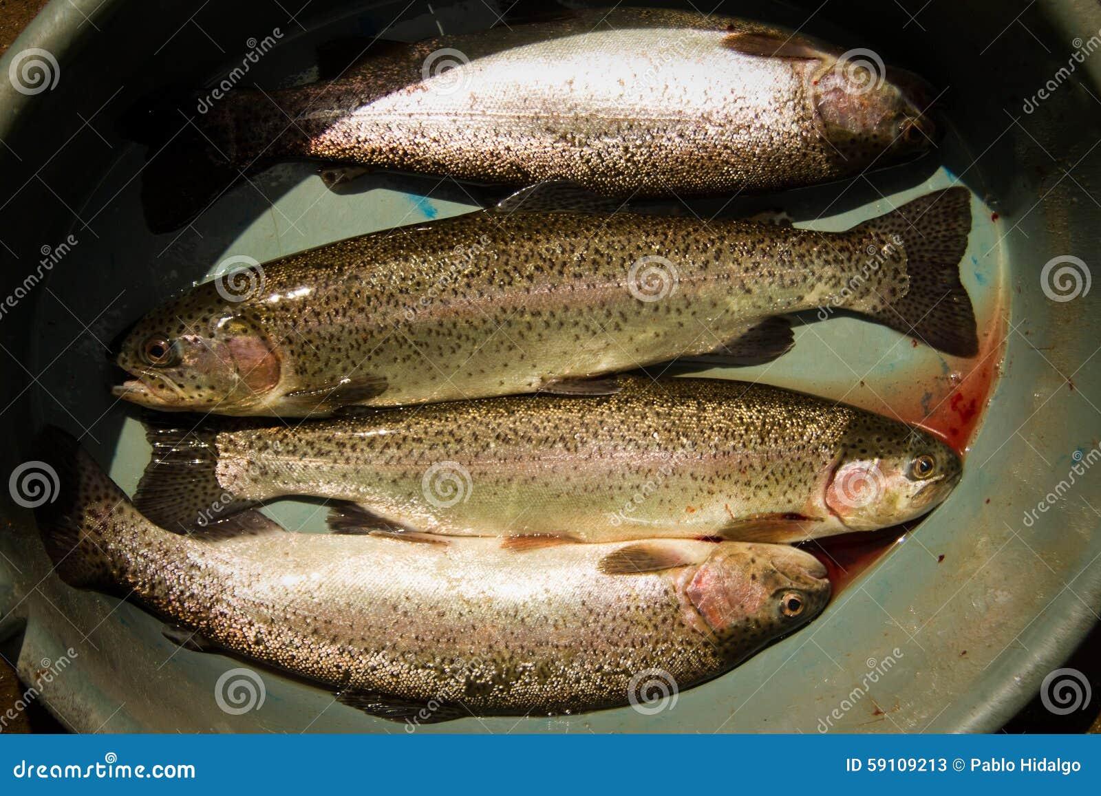 在被捉住之后的新鲜的鳟鱼