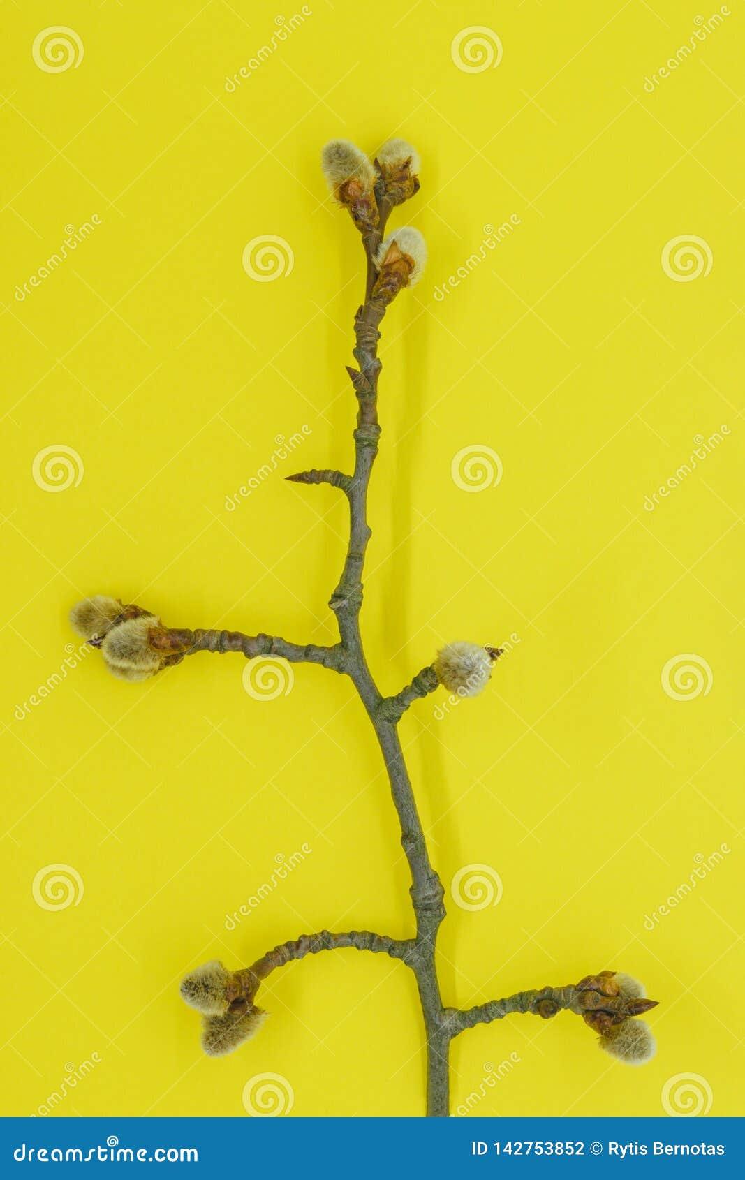 在褪色柳分支的膨胀的芽在黄色背景