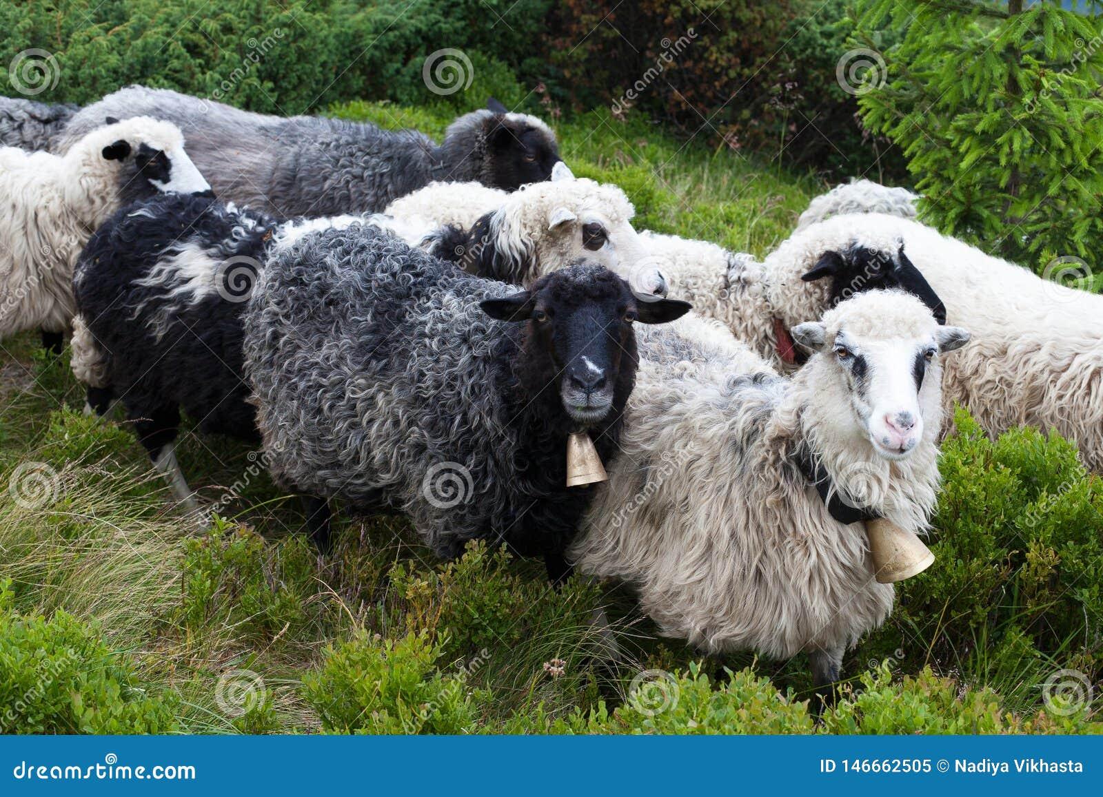 在足迹的绵羊在山