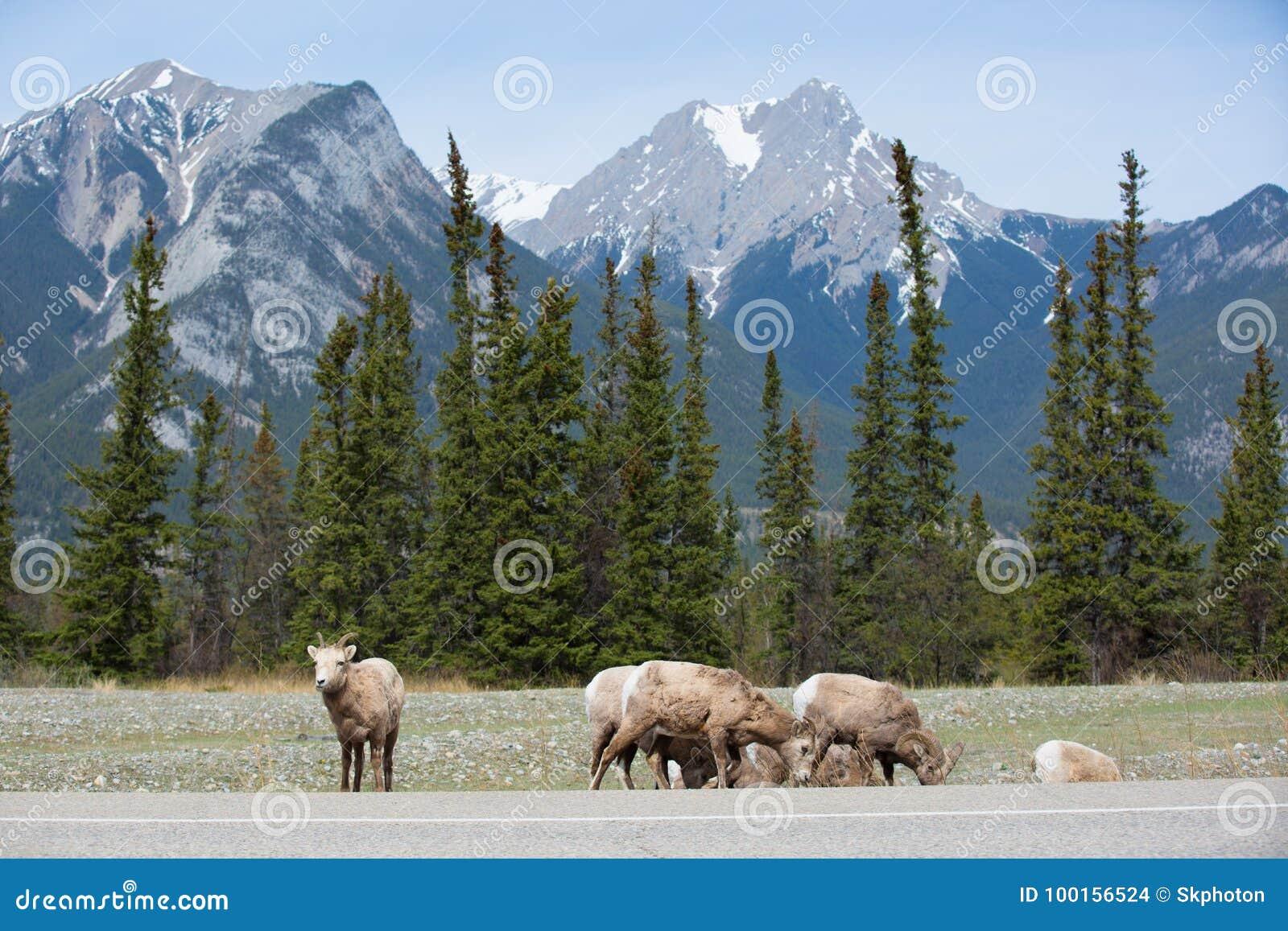 在路的边的石山羊