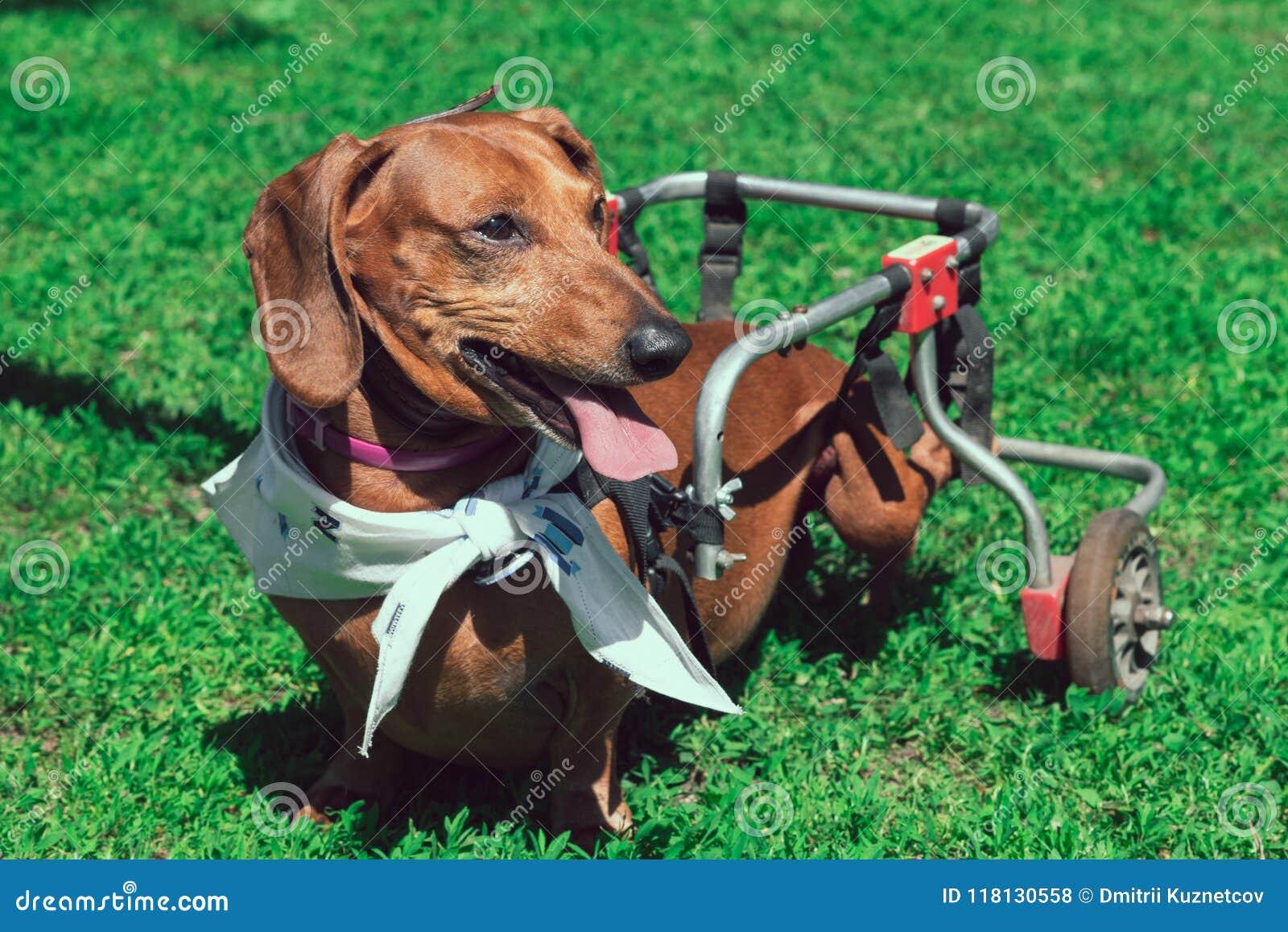 在轮椅走的被麻痹的愉快的短发达克斯猎犬