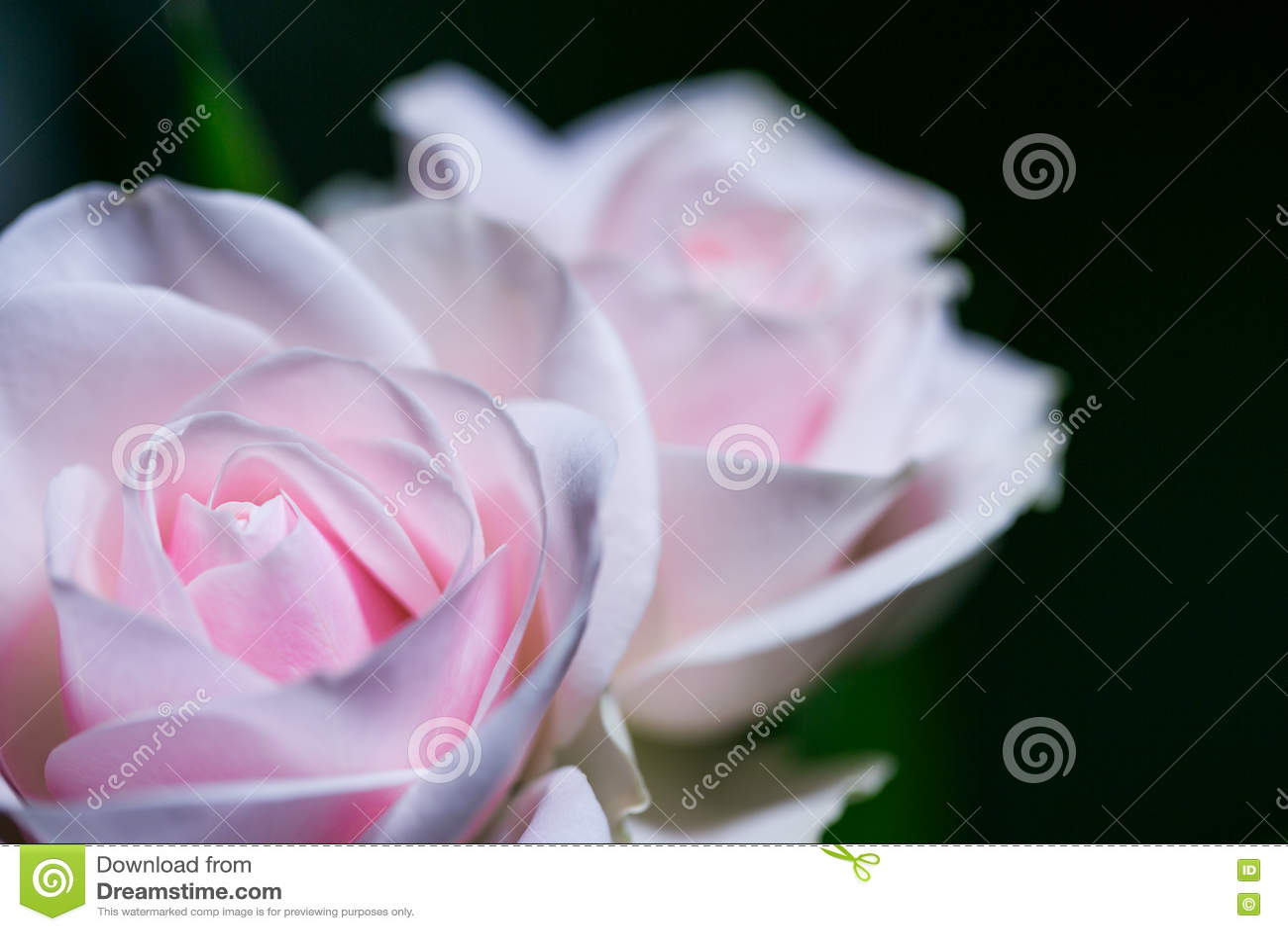 在软的背景的美丽的桃红色玫瑰与浅景深和聚焦玫瑰色花的中心