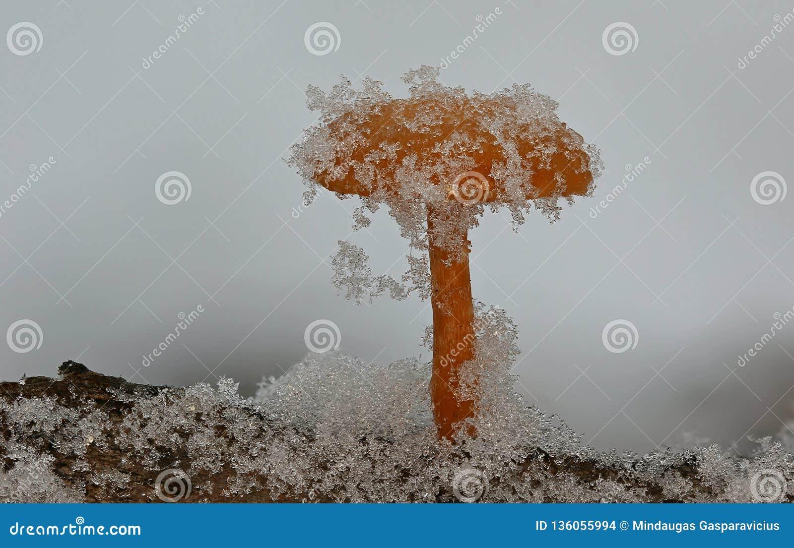在软的雪下的冬菇
