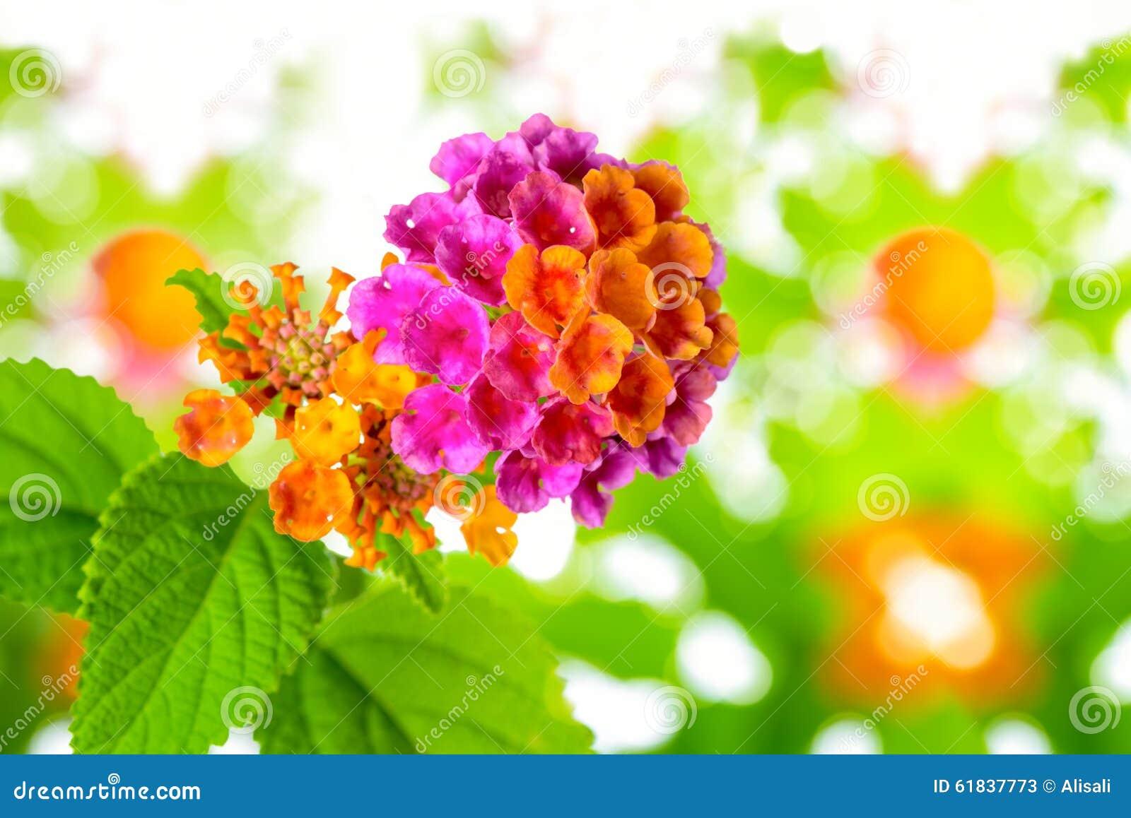 在迷离背景,特写镜头的美丽的五颜六色的马樱丹属camara花.图片
