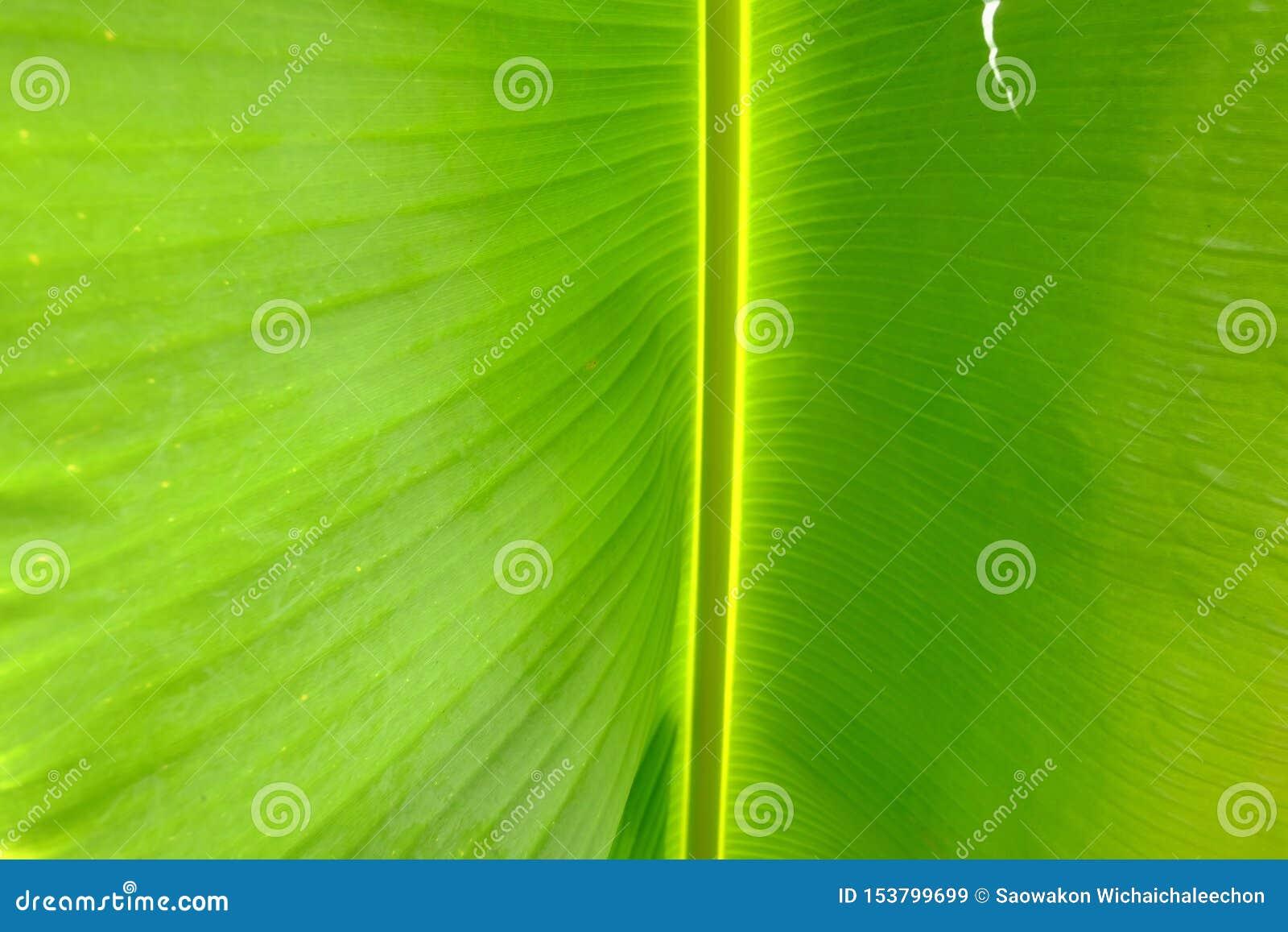 在选择聚焦一片热带香蕉棕榈叶的静脉样式