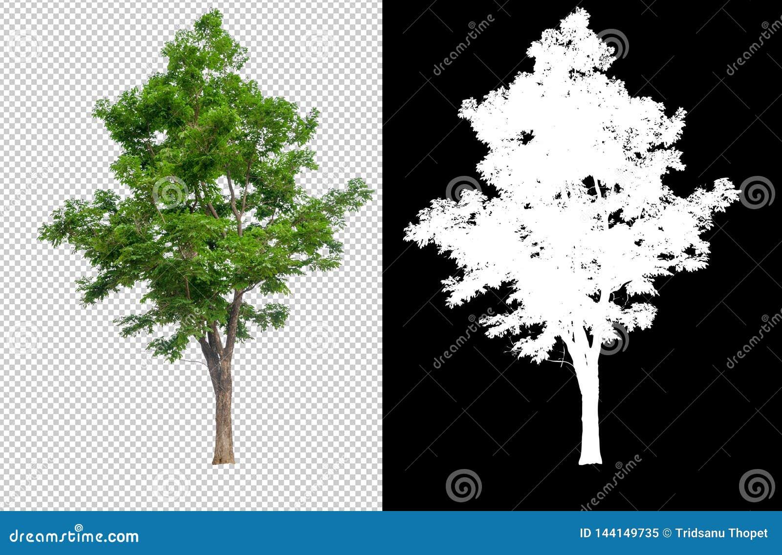 在透明图片背景的唯一树与裁减路线,与裁减路线的唯一树和在黑色的阿尔法通道