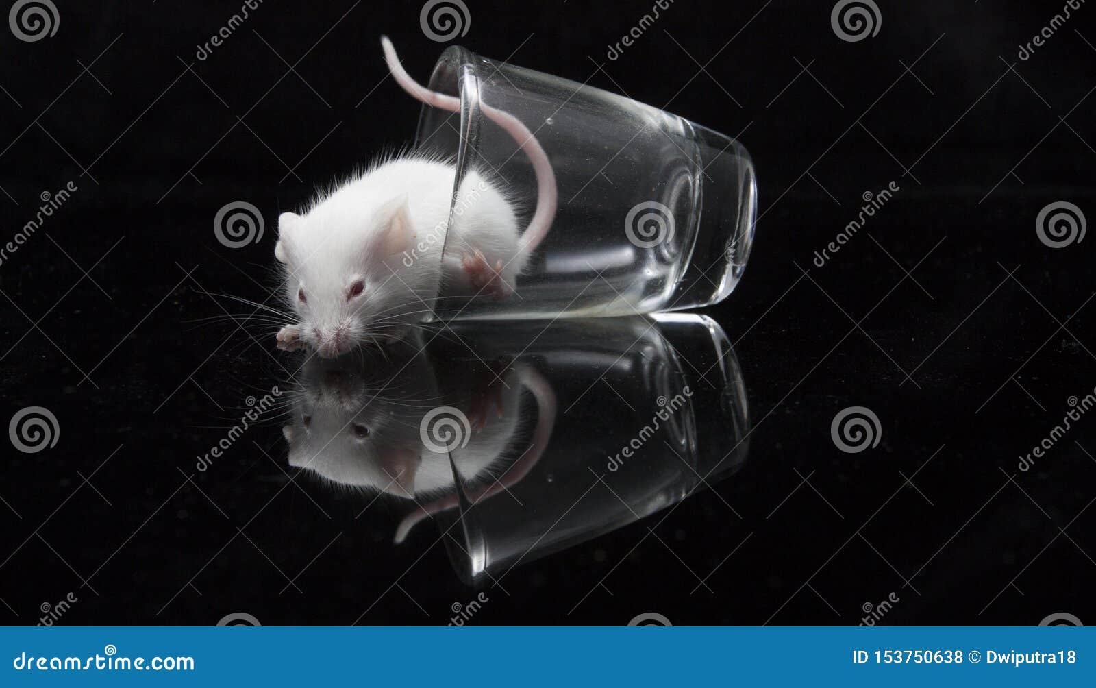 在透明玻璃的白色老鼠