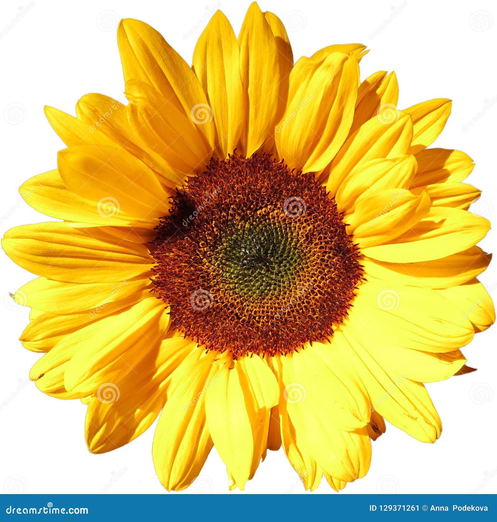 在透明背景的太阳花在另外的png文件