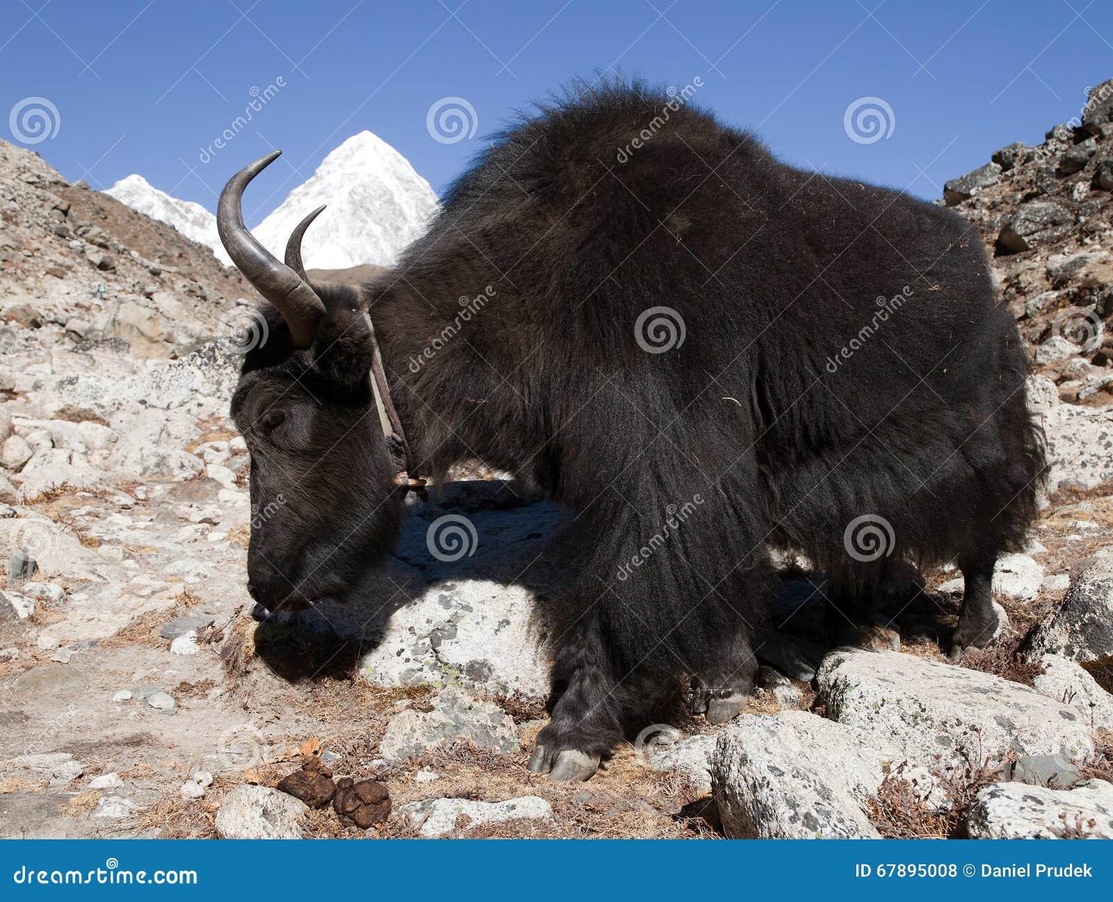 在途中的黑牦牛ak对珠穆琅玛营地-尼泊尔