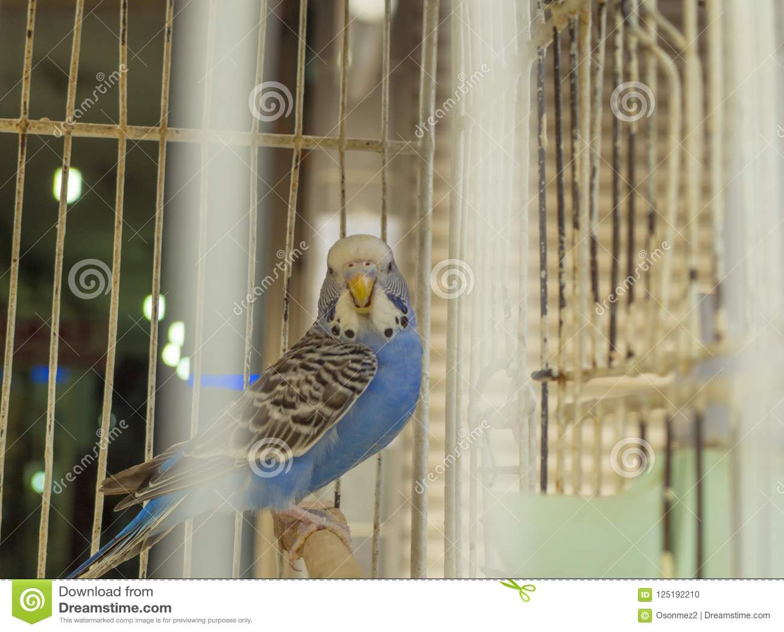 在通过笼子出现的笼子的蓝色budgie鸟盯梢
